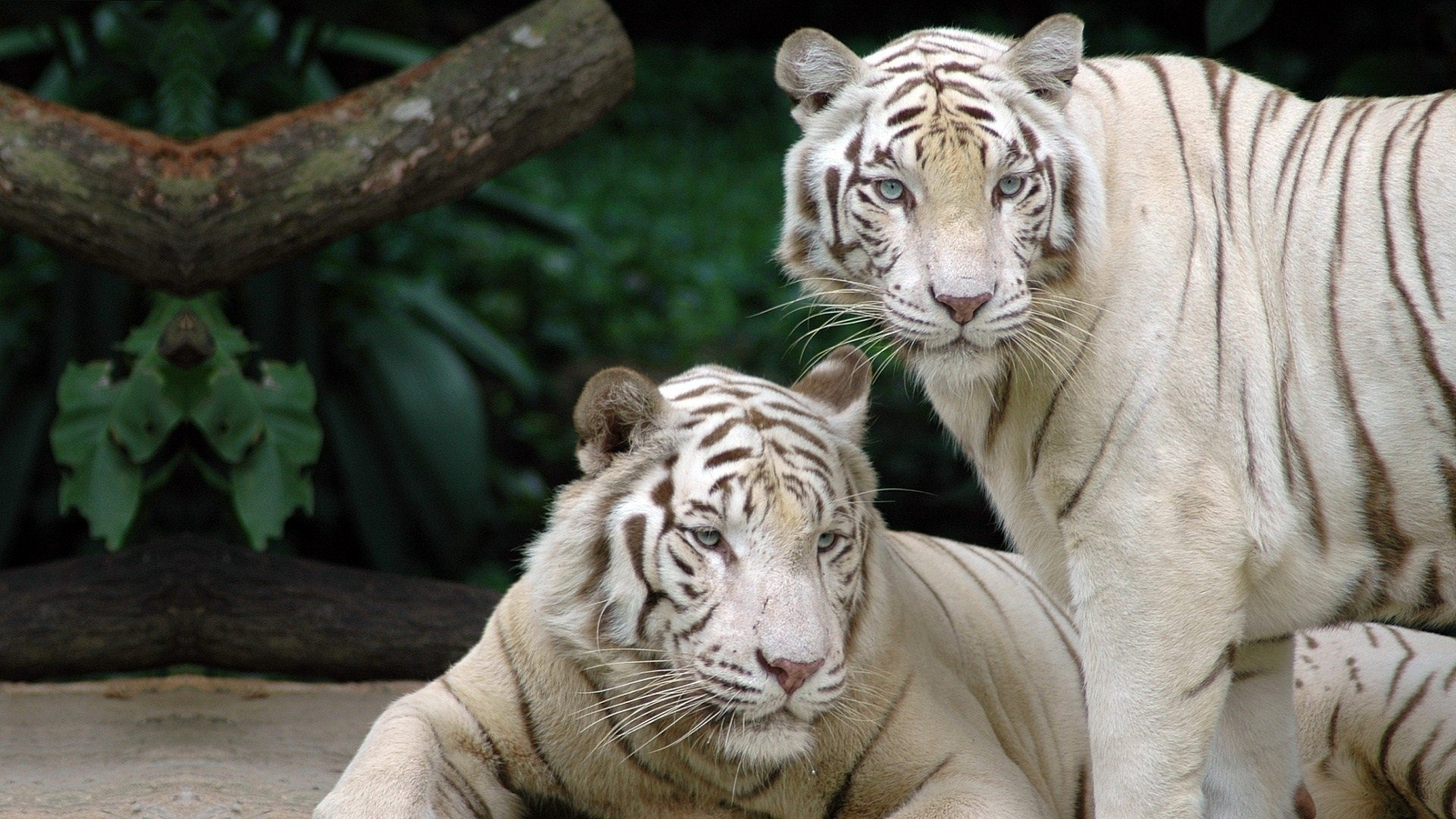 Free download White Tiger wallpaper ID:174983 1080p for PC