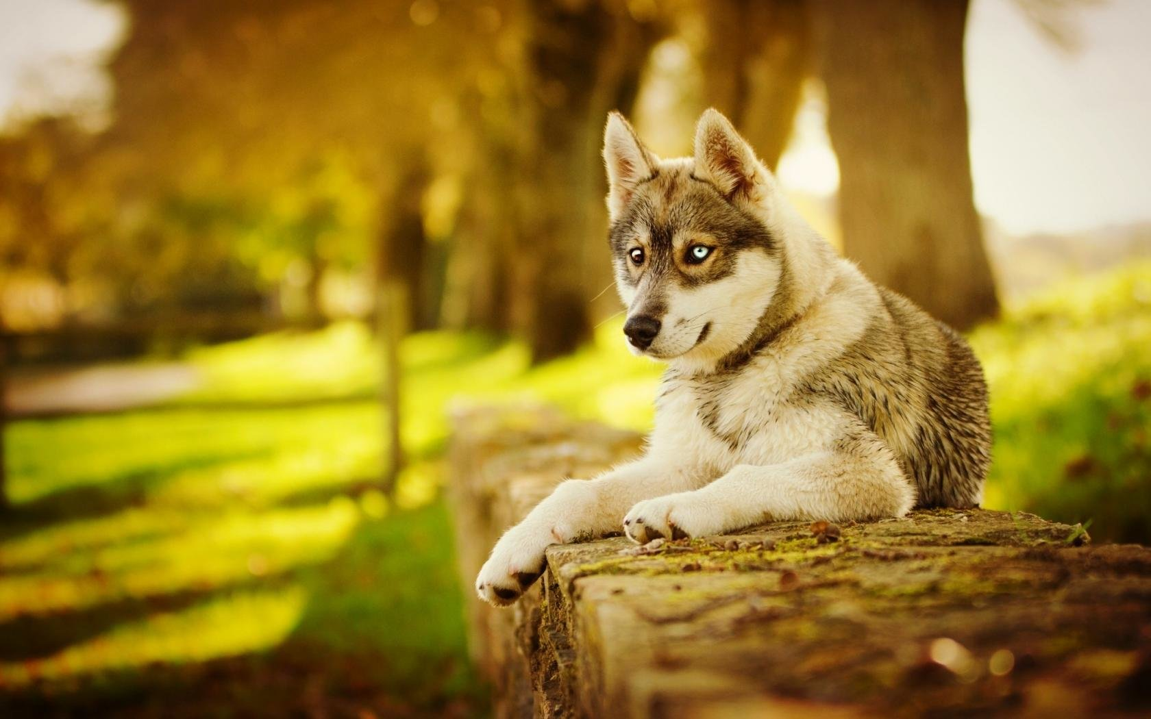 Free download Husky background ID:198343 hd 1680x1050 for desktop
