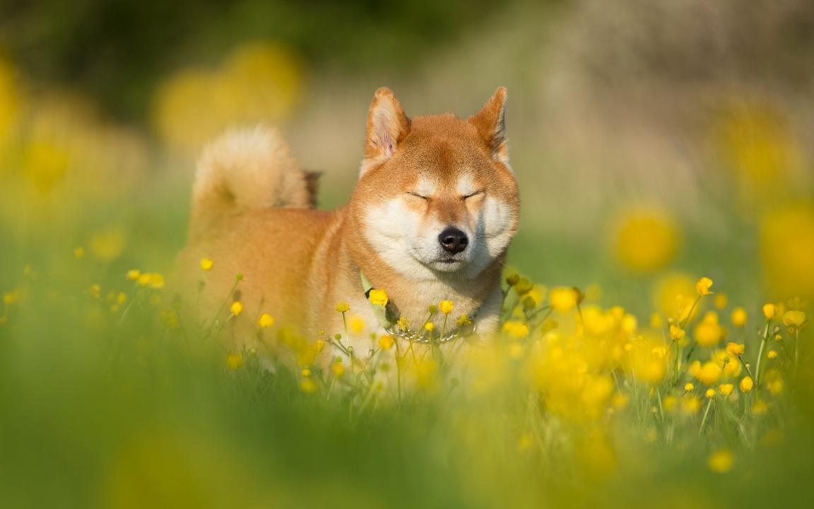 Free download Shiba Inu background ID:125940 hd 1152x720 for PC