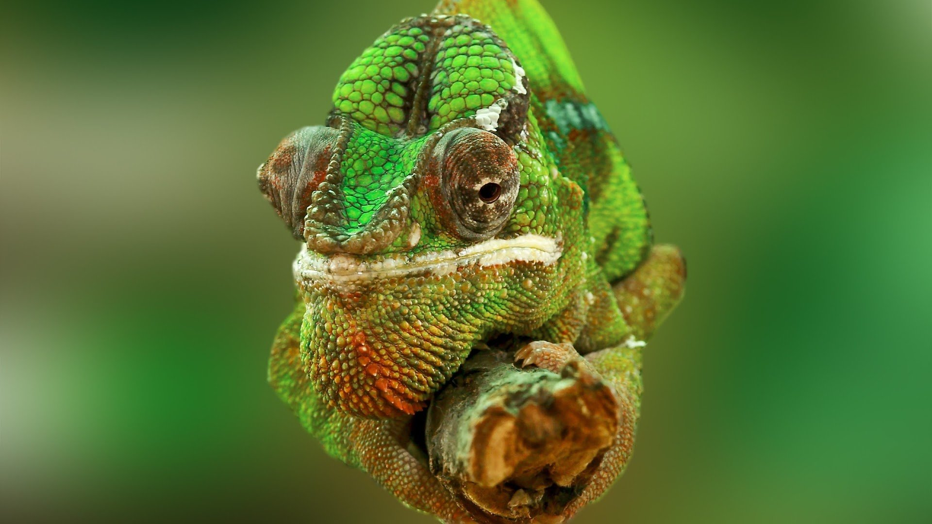 High resolution Chameleon full hd 1920x1080 background ID:462537 for desktop