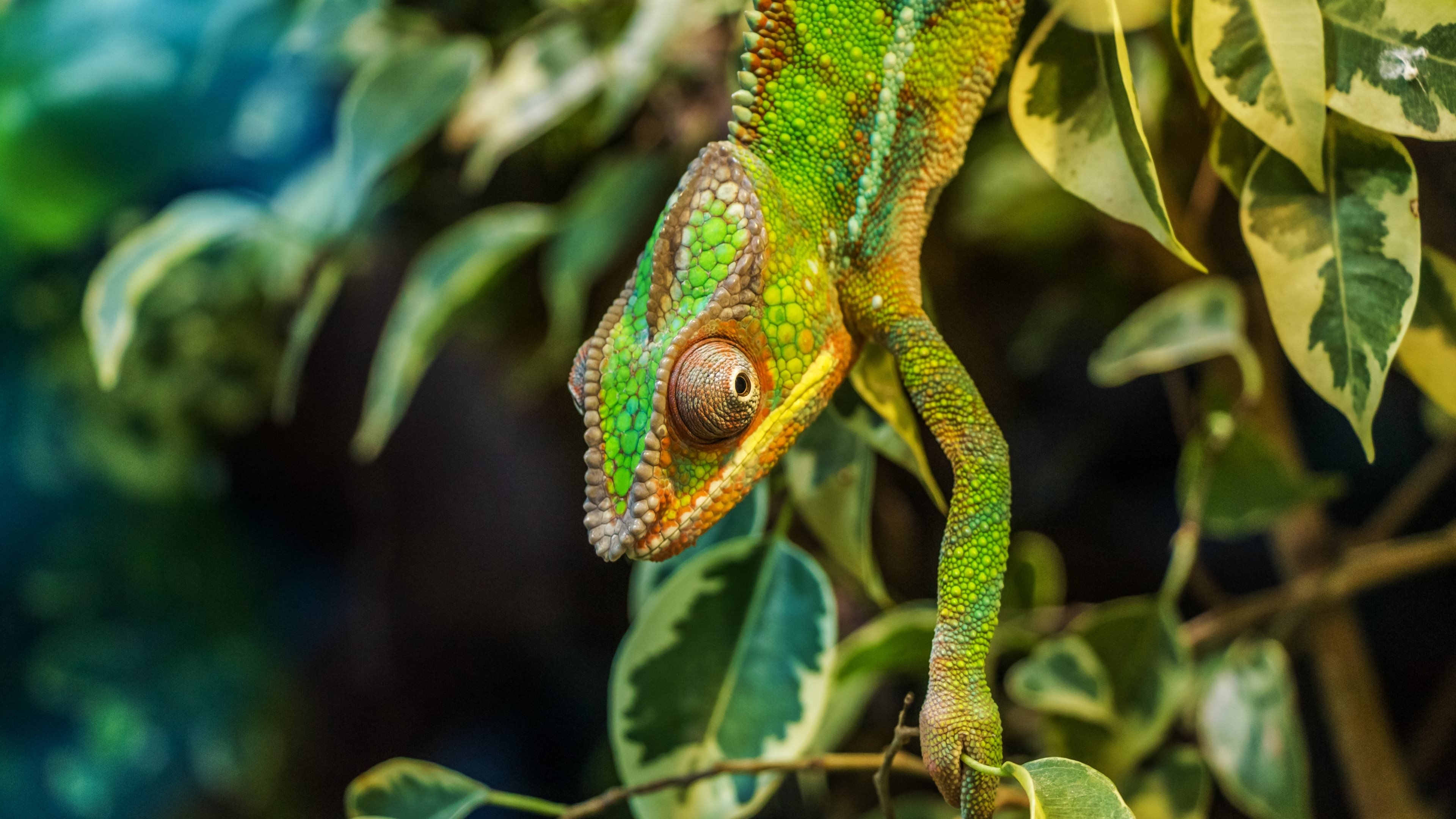 High resolution Chameleon hd 4k wallpaper ID:462536 for computer