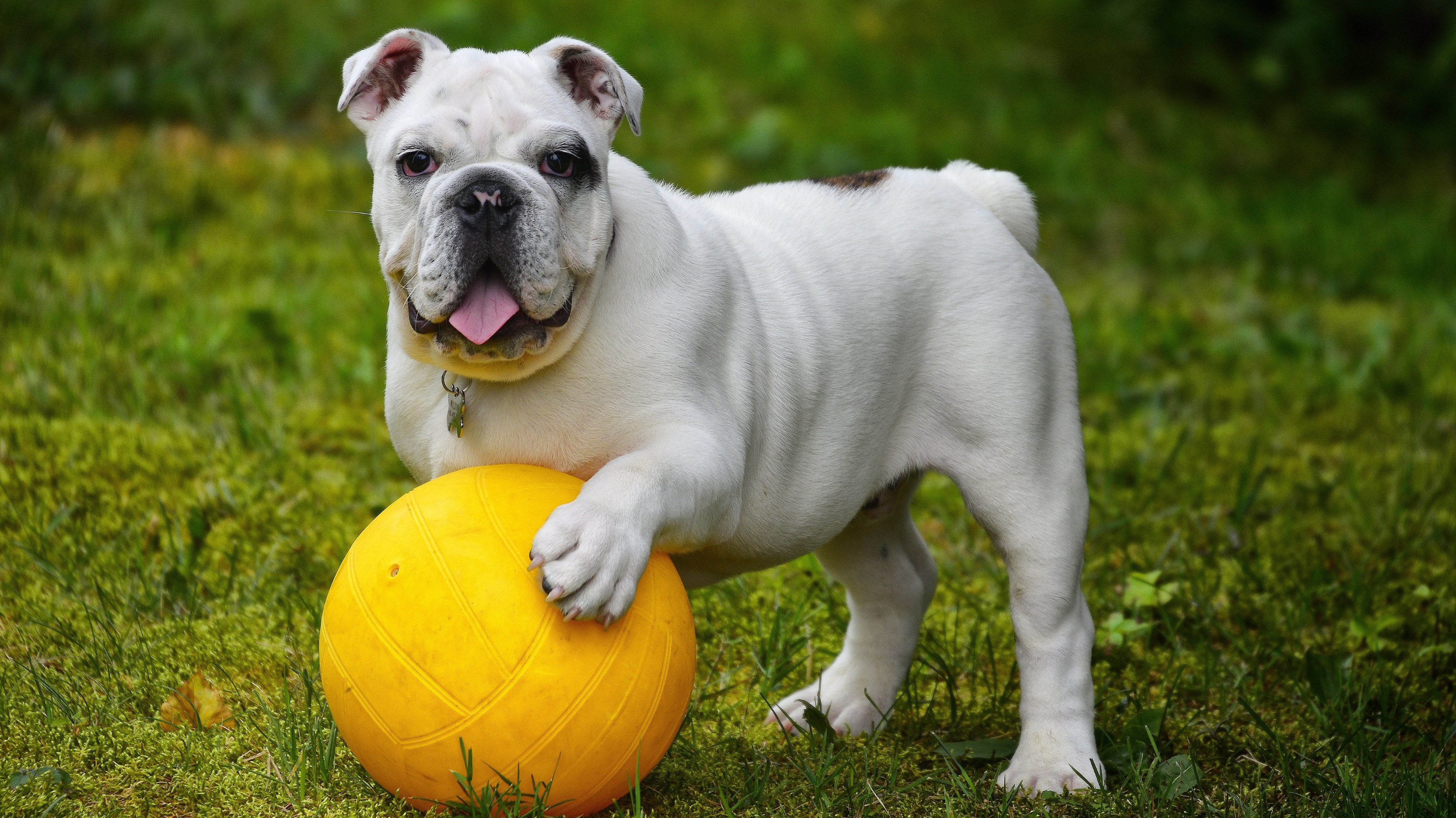 Awesome English Bulldog free wallpaper ID:397900 for 4k PC