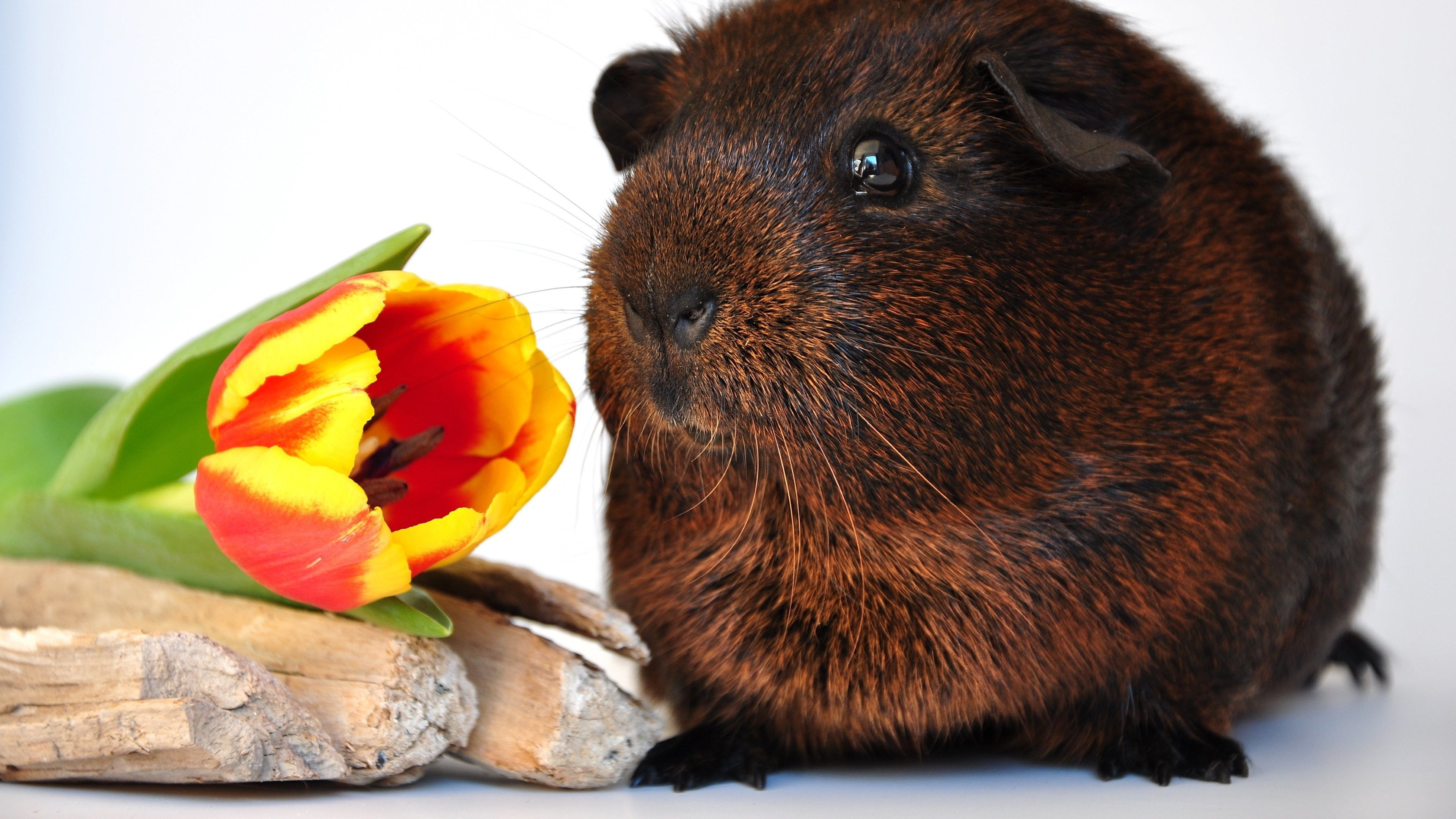 Free Guinea Pig high quality wallpaper ID:270976 for ultra hd 4k desktop