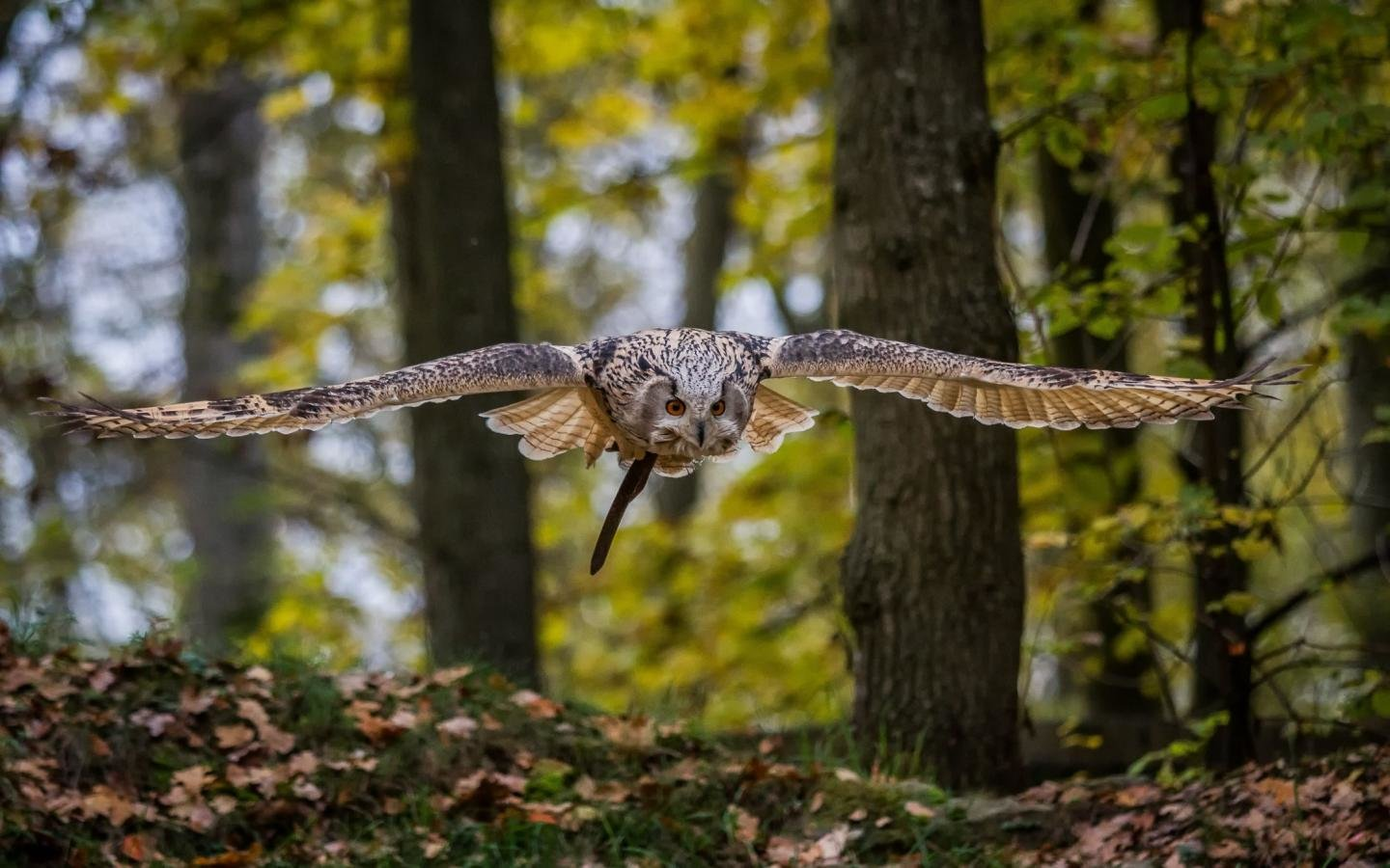 Download hd 1440x900 Owl PC background ID:237160 for free