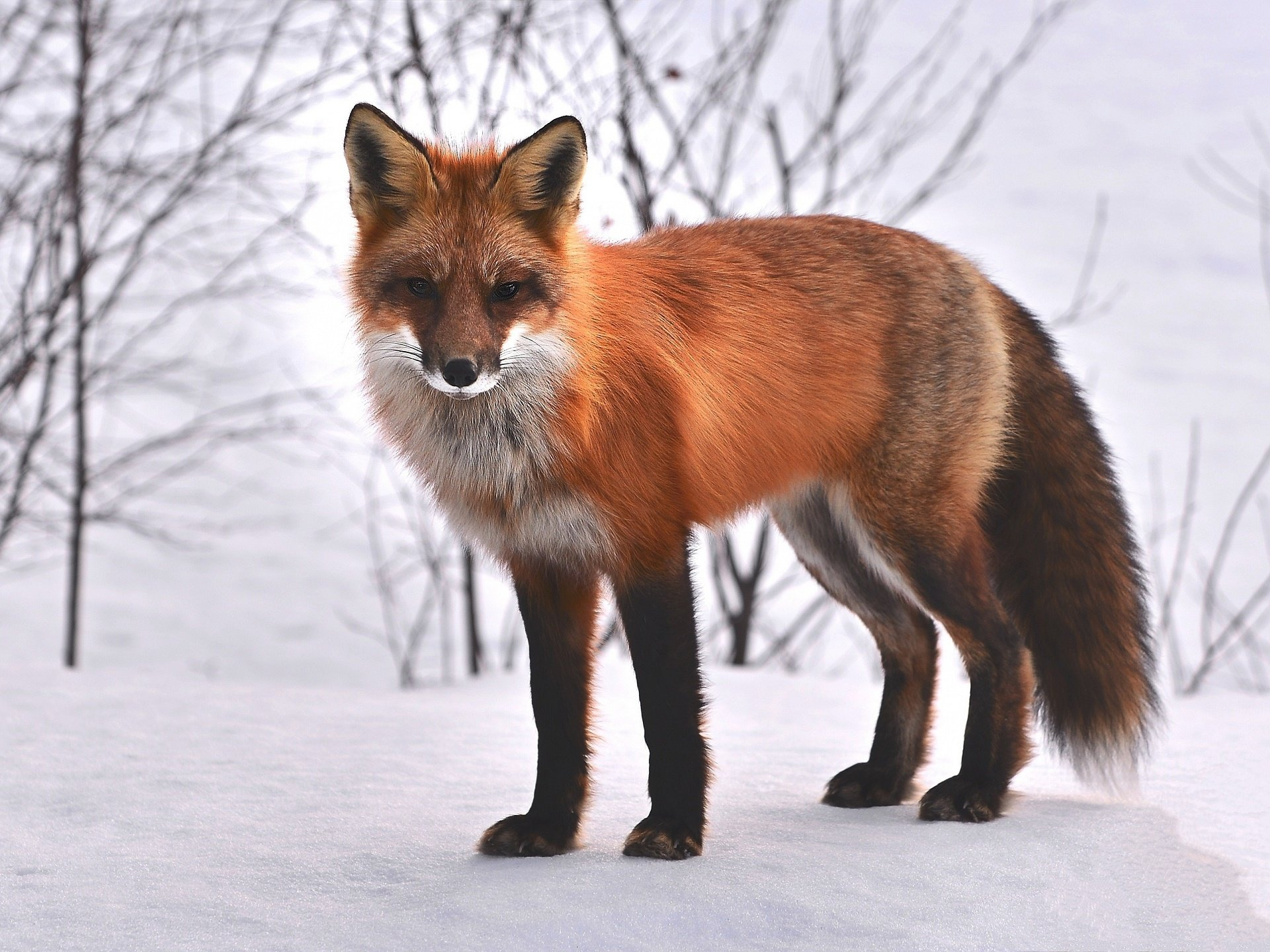Free download Red Fox background ID:58805 hd 1920x1440 for PC