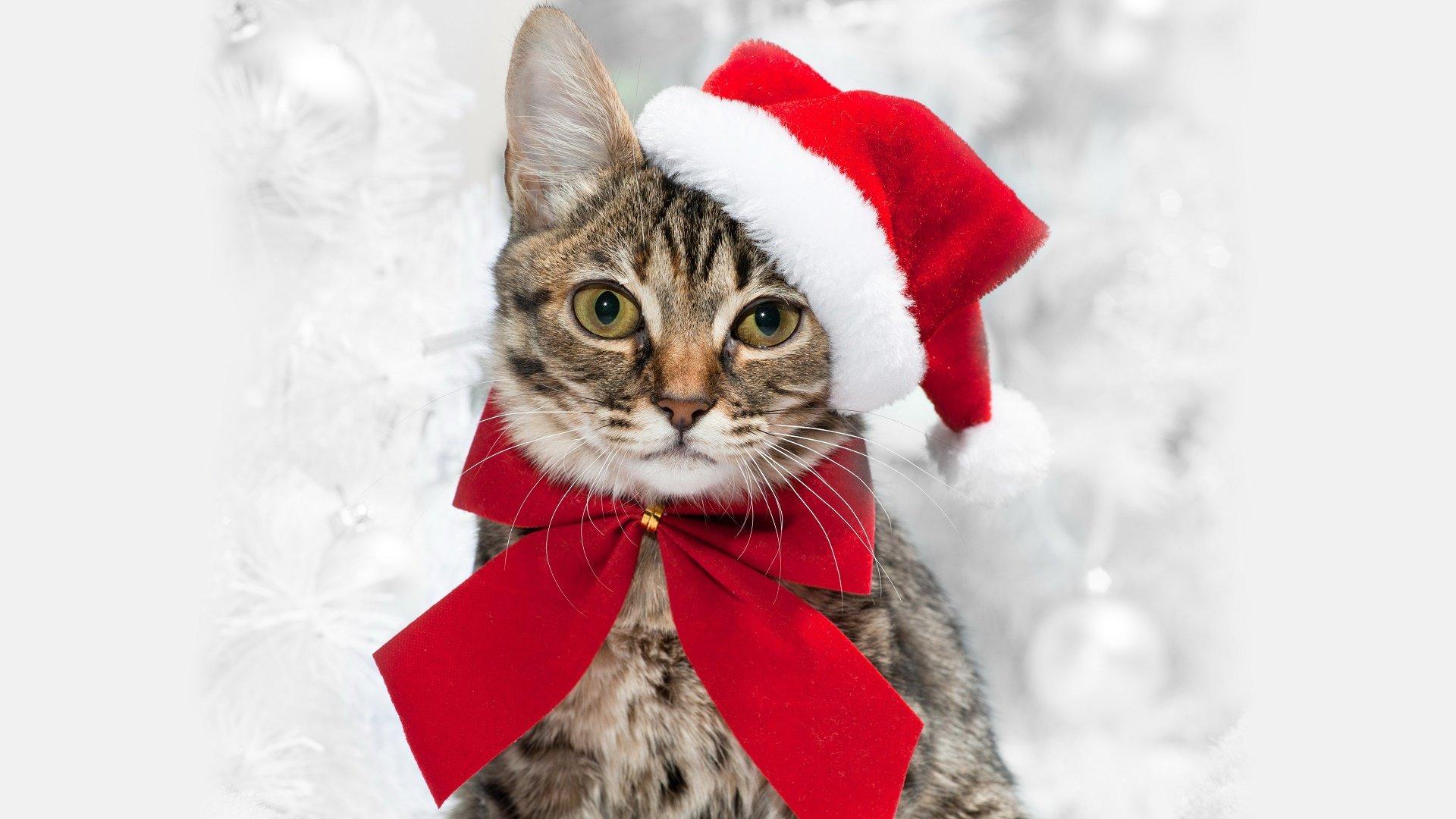 Free Download Cat Wallpaper Id 427388 Full Hd 1080p For Desktop