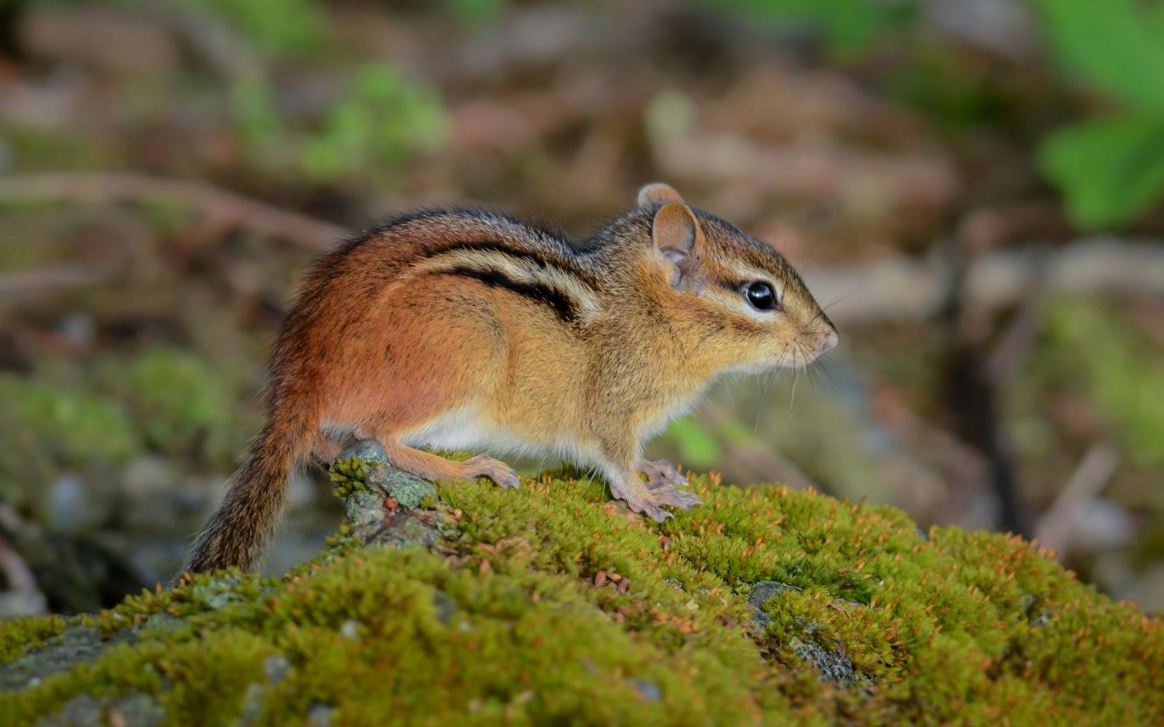 Best Chipmunk wallpaper ID:323080 for High Resolution hd 1680x1050 PC