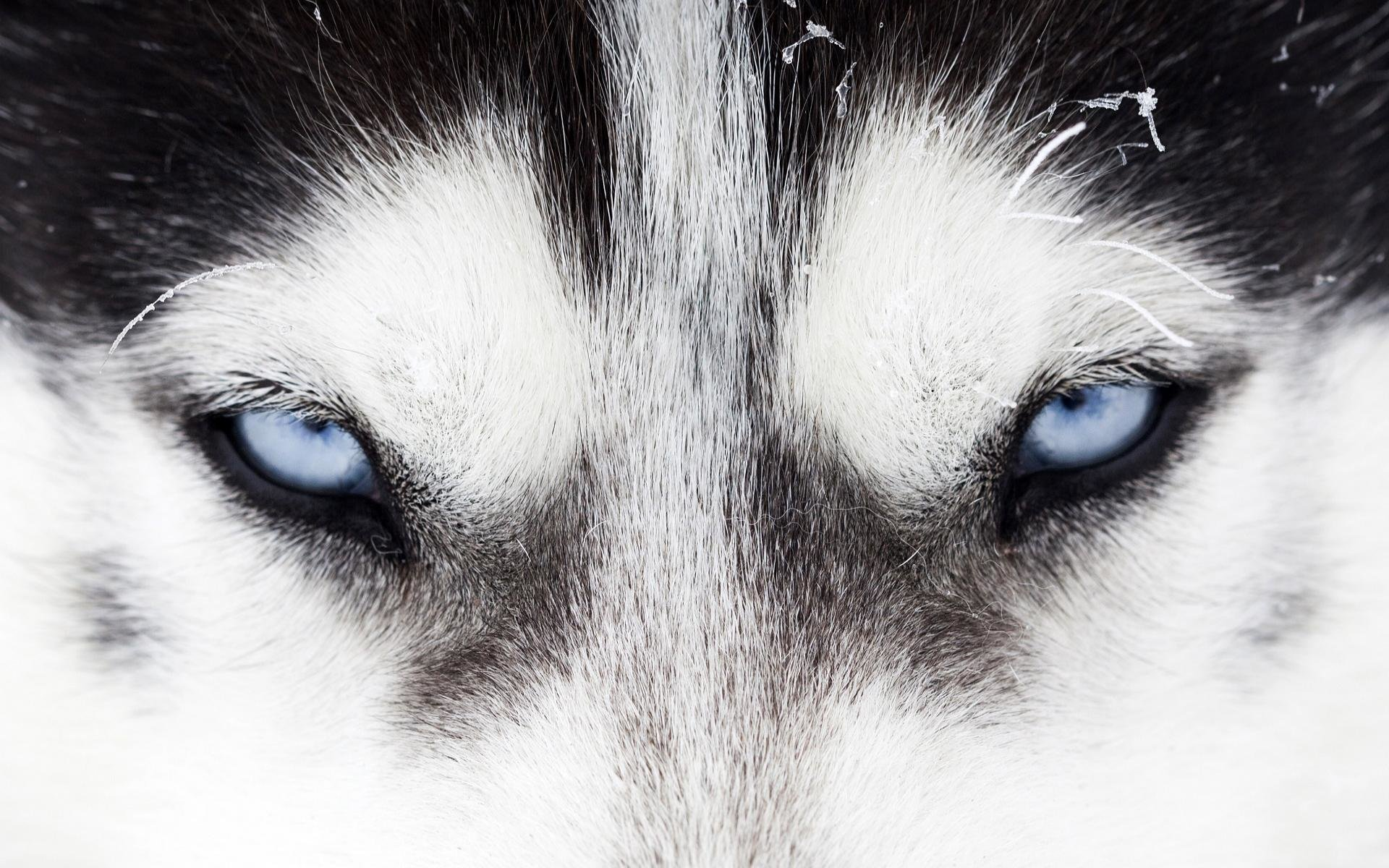 Awesome Siberian Husky free background ID:155245 for hd 1920x1200 desktop