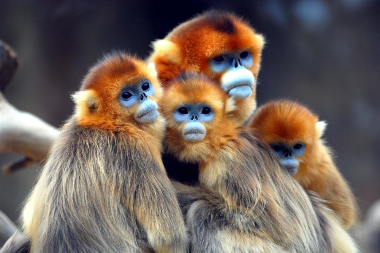 Download hd 1280x854 Golden Snub-nosed Monkey desktop background ID:29631 for free