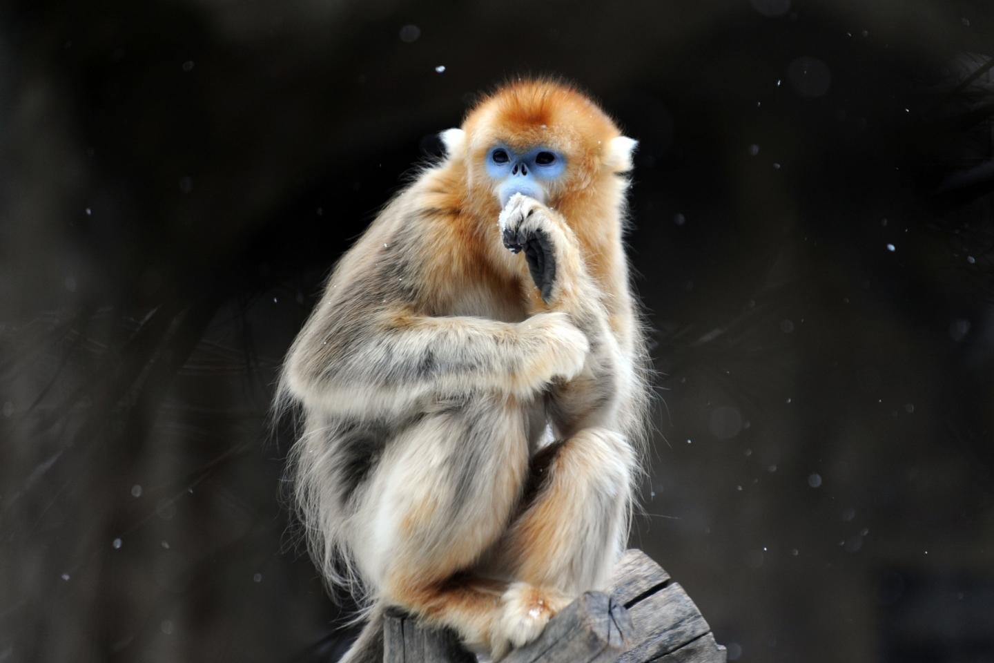 Best Golden Snub-nosed Monkey background ID:29637 for High Resolution hd 1440x960 PC