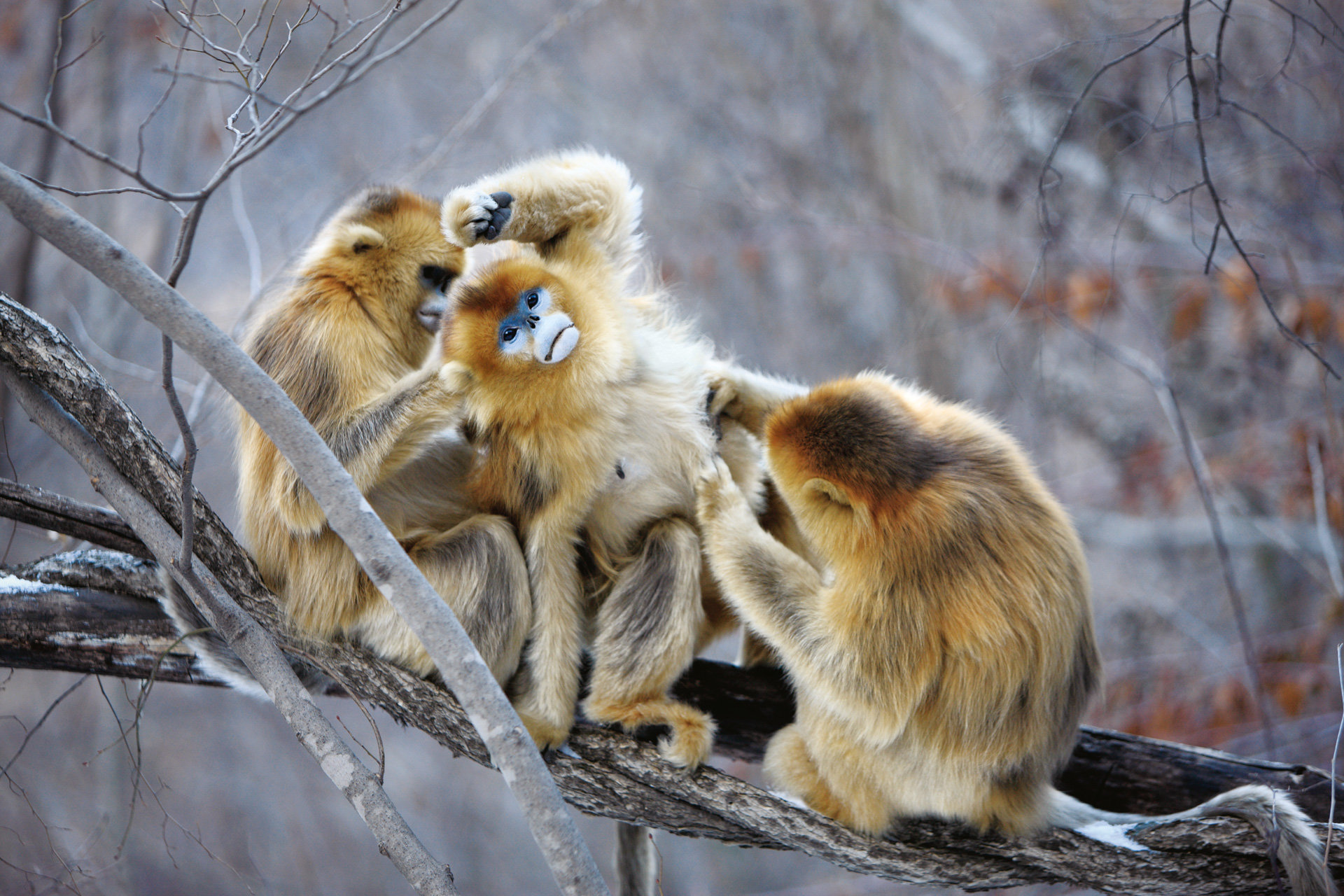 Awesome Golden Snub-nosed Monkey free wallpaper ID:29643 for hd 1920x1280 PC