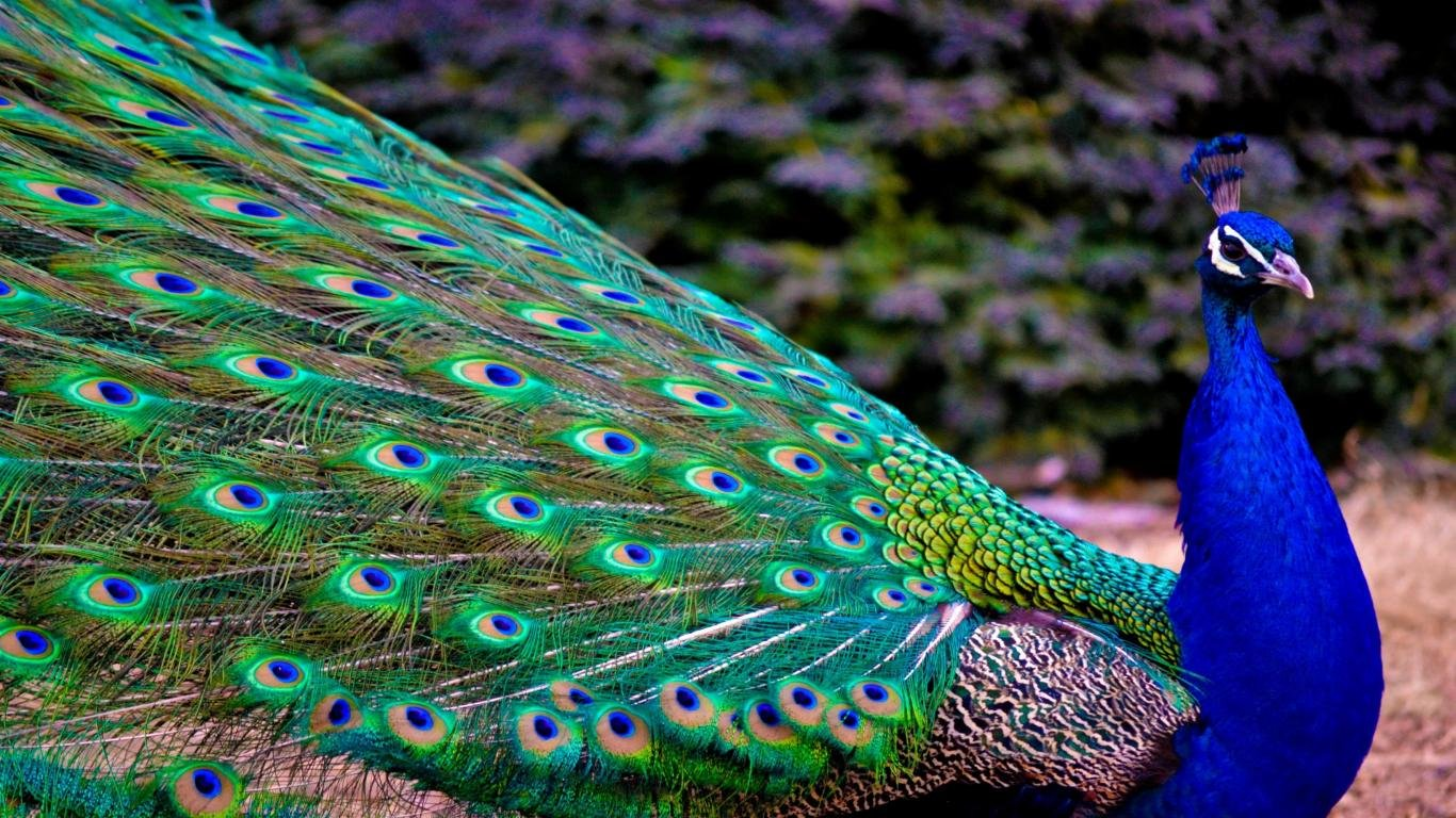 Free Peacock high quality background ID:151744 for laptop PC