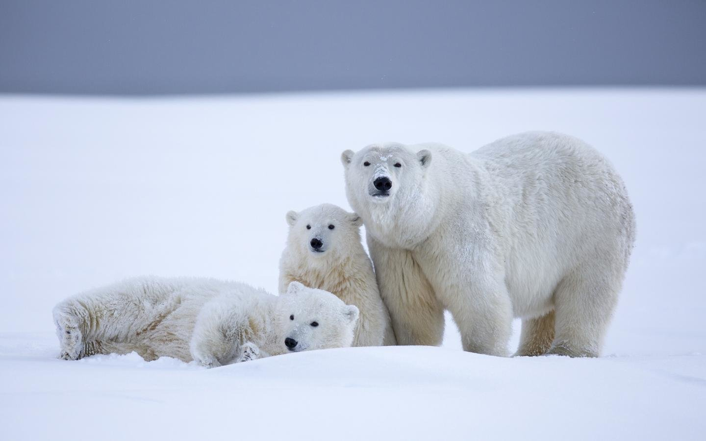 High resolution Polar Bear hd 1440x900 wallpaper ID:359999 for desktop