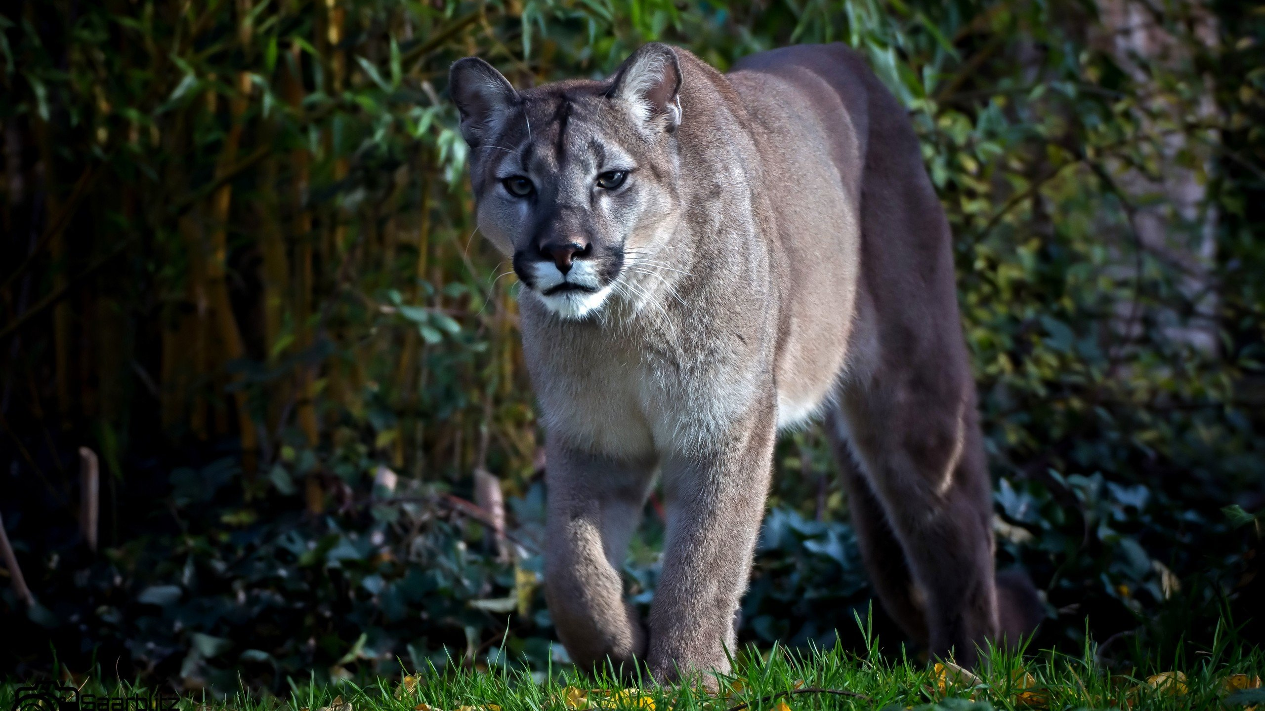 Free download Cougar wallpaper ID:81735 hd 2560x1440 for PC
