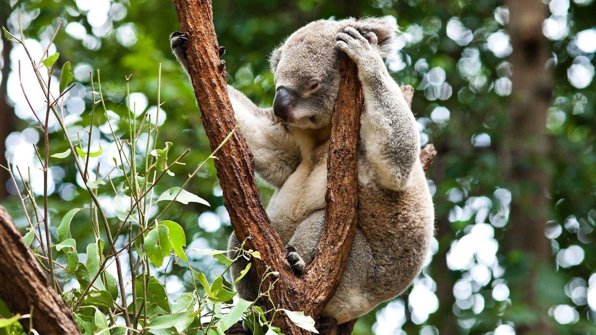 Free Download Koala Wallpaper Id74271 Full Hd 1080p For Desktop