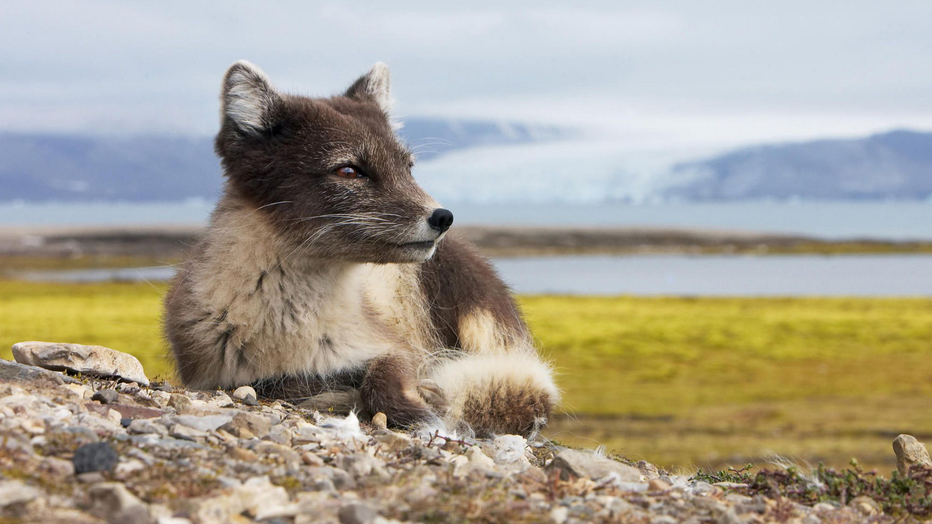 Best Arctic Fox wallpaper ID:98765 for High Resolution full hd computer