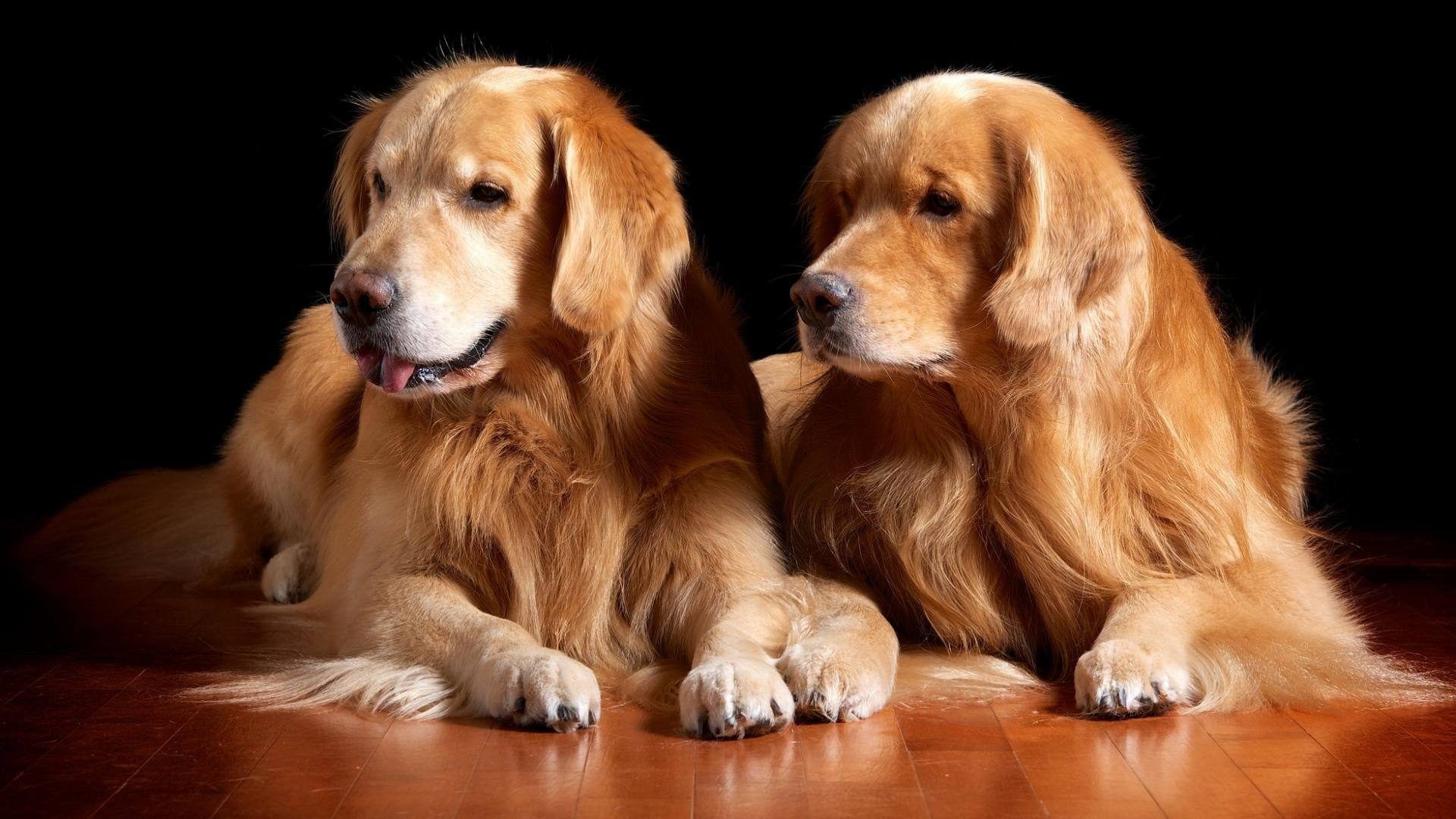 Awesome Golden Retriever free background ID:211790 for hd 1080p desktop