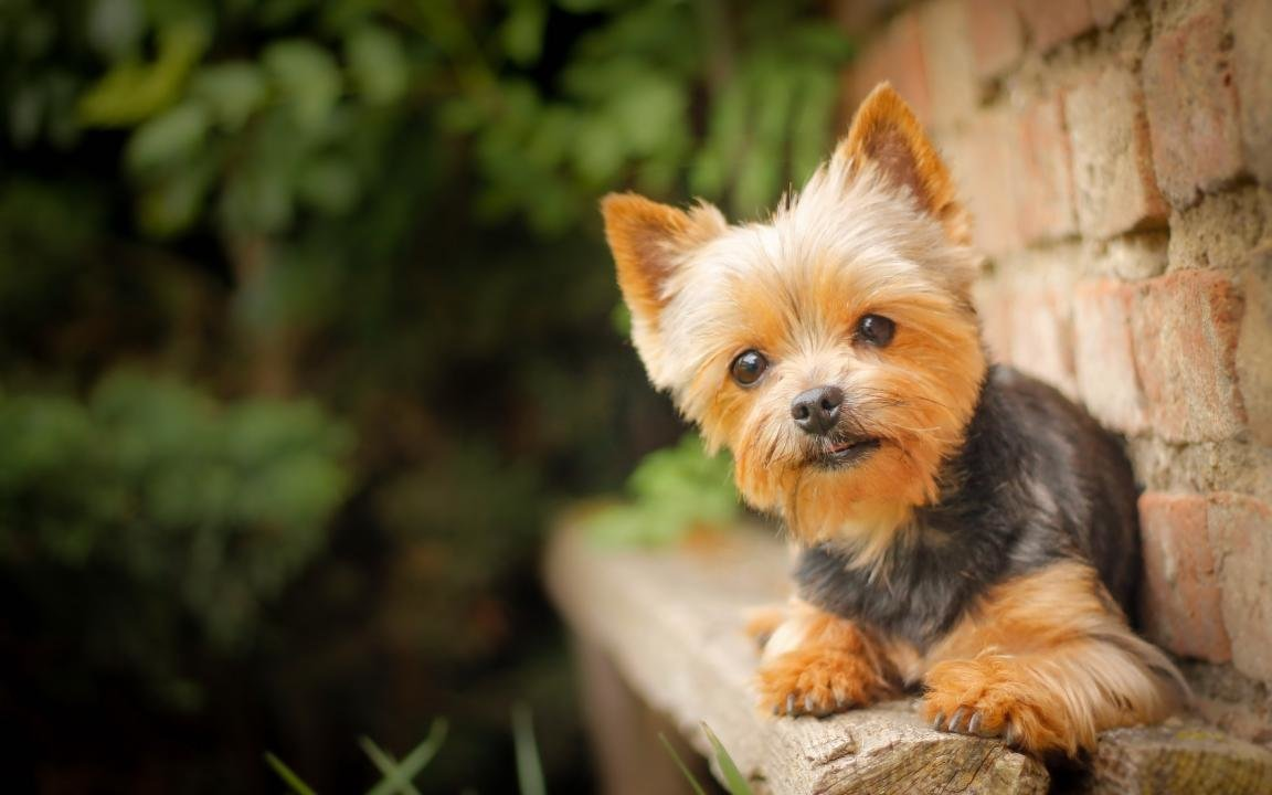 Best Yorkshire Terrier background ID:110988 for High Resolution hd 1152x720 PC