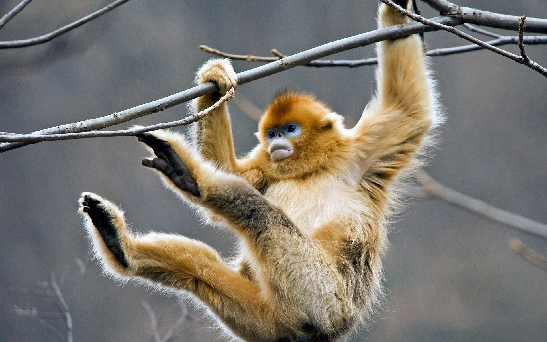 Free download Golden Snub-nosed Monkey wallpaper ID:29640 hd 1920x1200 for desktop