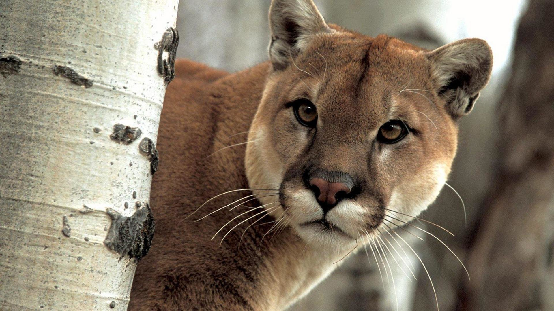 Free download Cougar wallpaper ID:81697 full hd for desktop