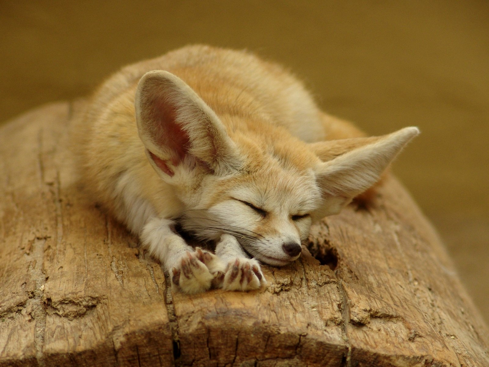 High resolution Fennec Fox hd 1600x1200 wallpaper ID:137682 for desktop