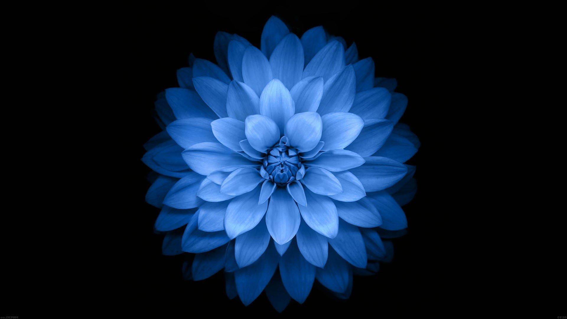 Blue Flower Wallpapers 1920x1080 Full Hd 1080p Desktop Backgrounds