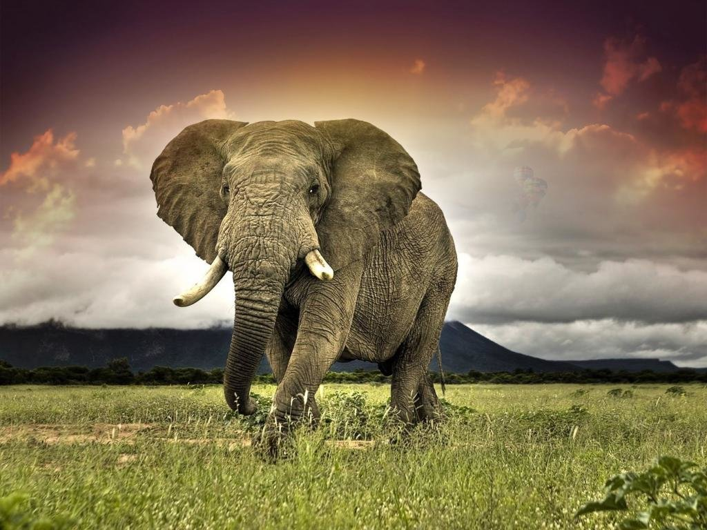 Download hd 1024x768 Elephant desktop background ID:132669 for free