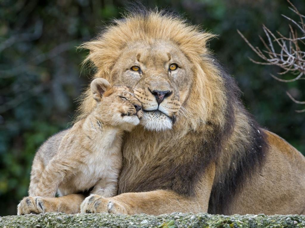 Best Lion wallpaper ID:255235 for High Resolution hd 1024x768 PC