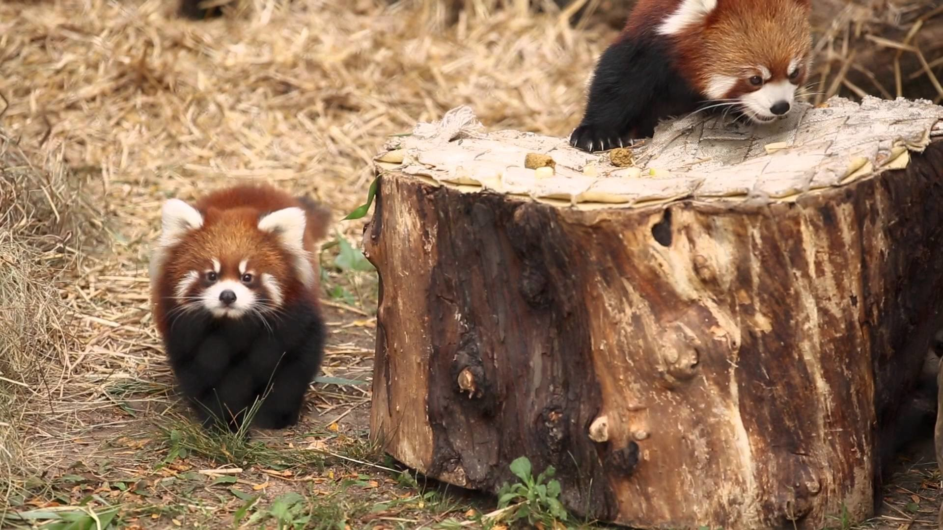 Free Red Panda high quality background ID:64064 for hd 1080p PC