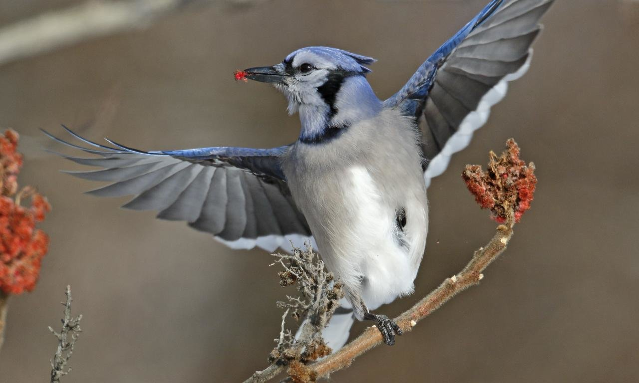 Best Blue Jay background ID:158398 for High Resolution hd 1280x768 desktop