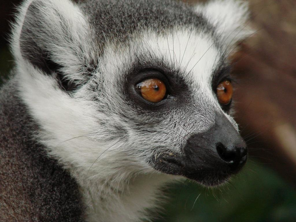 Download hd 1024x768 Lemur PC wallpaper ID:53217 for free