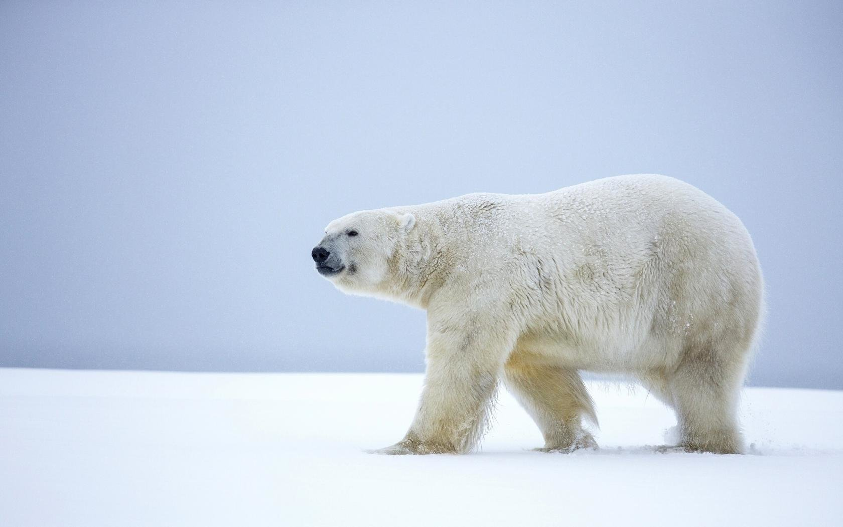 Download hd 1680x1050 Polar Bear PC background ID:359893 for free