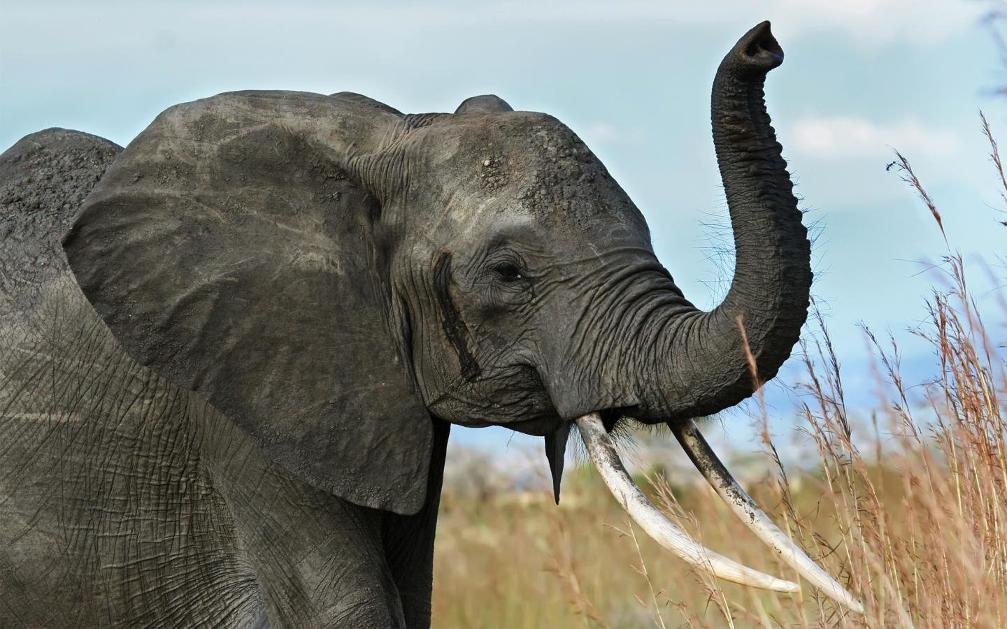 Awesome Elephant free wallpaper ID:132589 for hd 1440x900 desktop