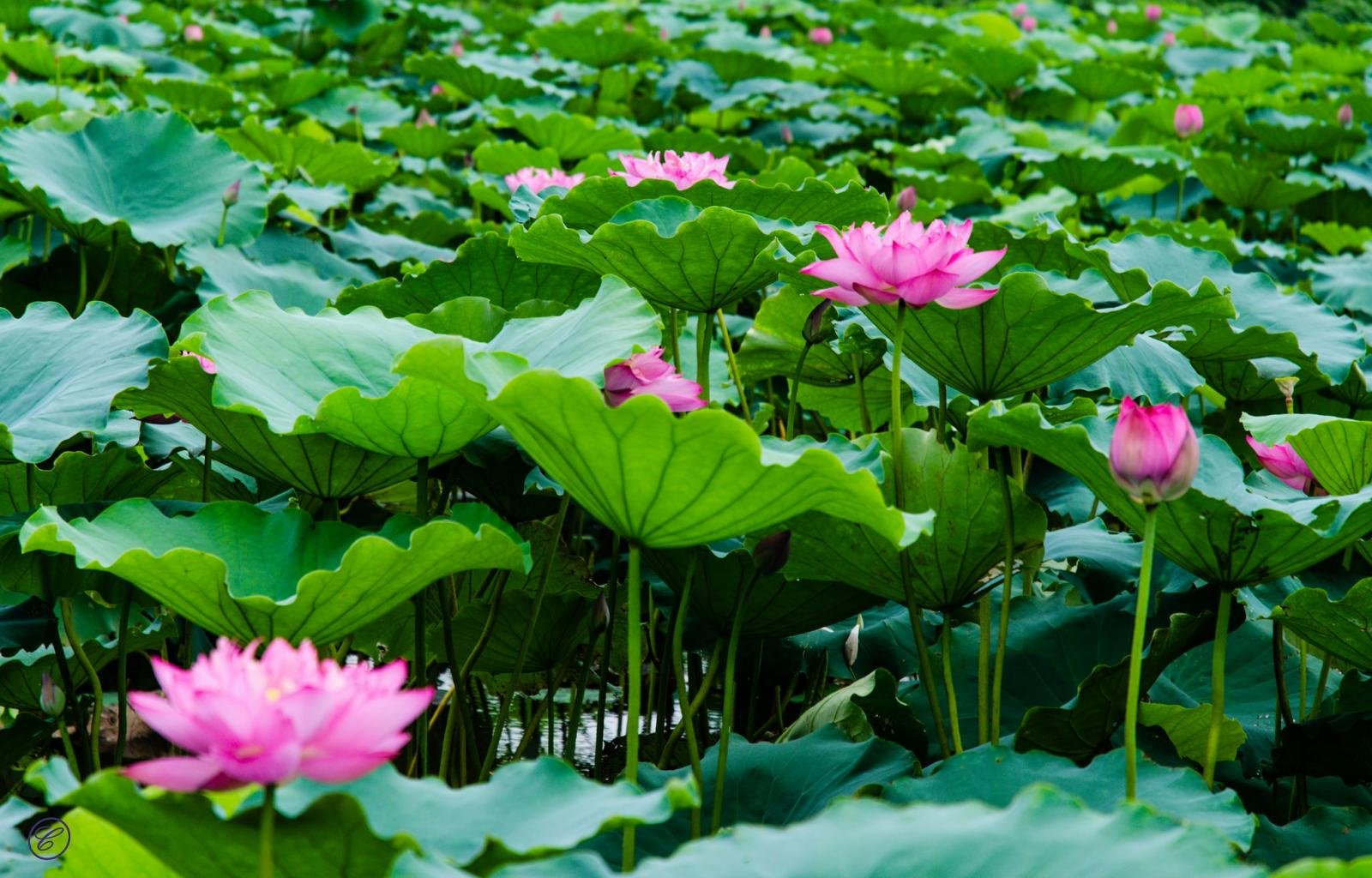 Free download lotus flower background id48467 hd 1600x1024 for pc mightylinksfo