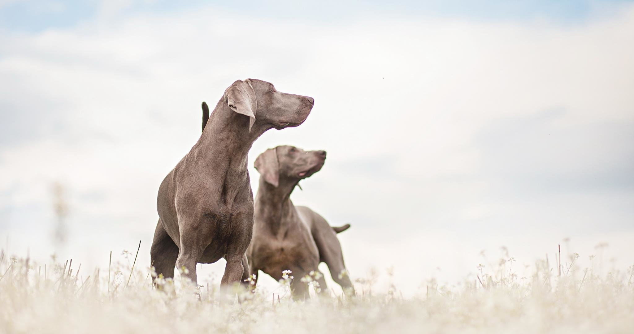 Free download Weimaraner background ID:9654 hd 2048x1080 for computer