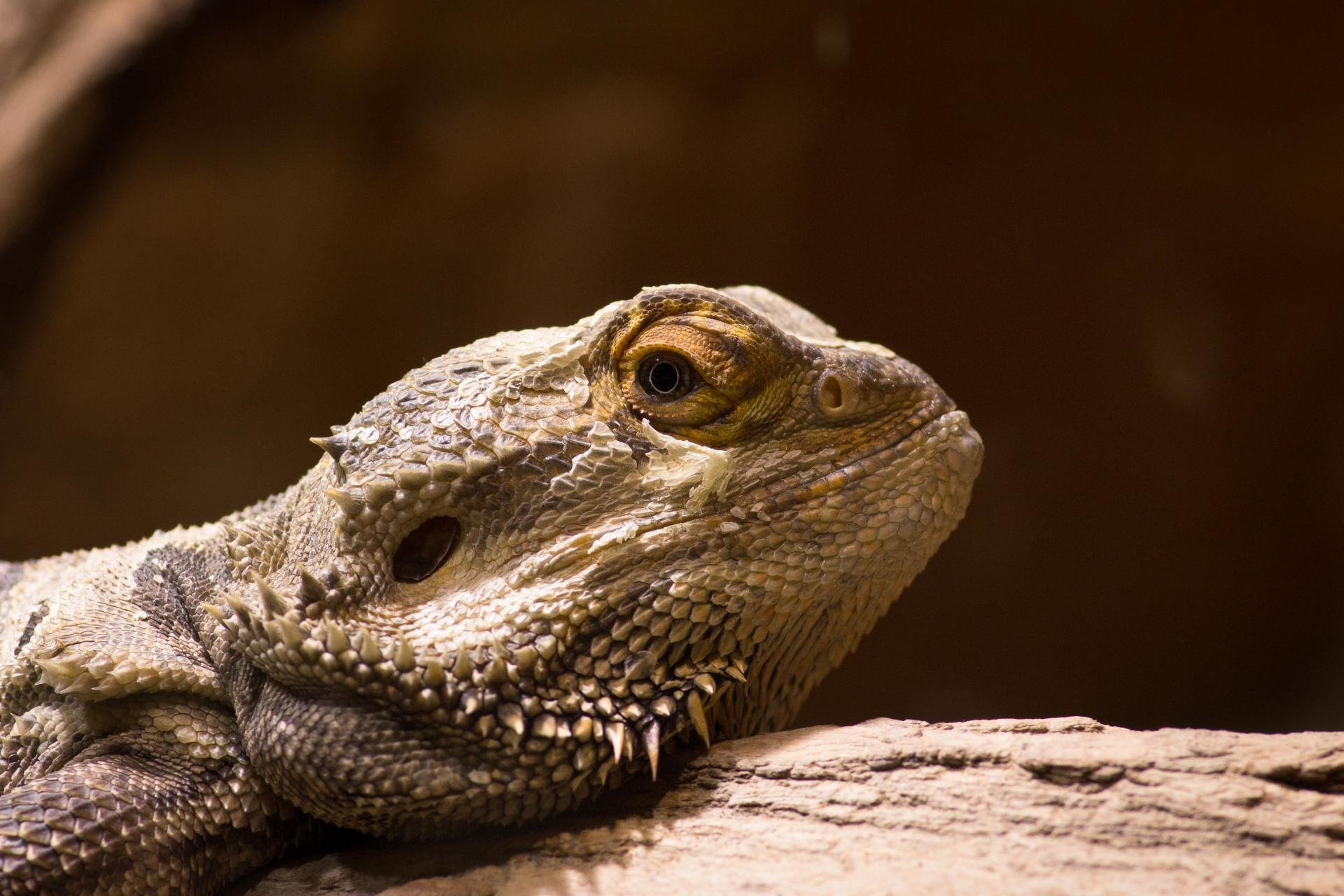 High resolution Bearded Dragon hd 1920x1280 background ID:396831 for PC