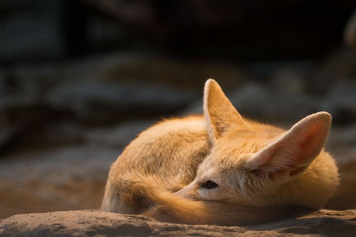 High resolution Fennec Fox hd 1152x768 background ID:137689 for PC