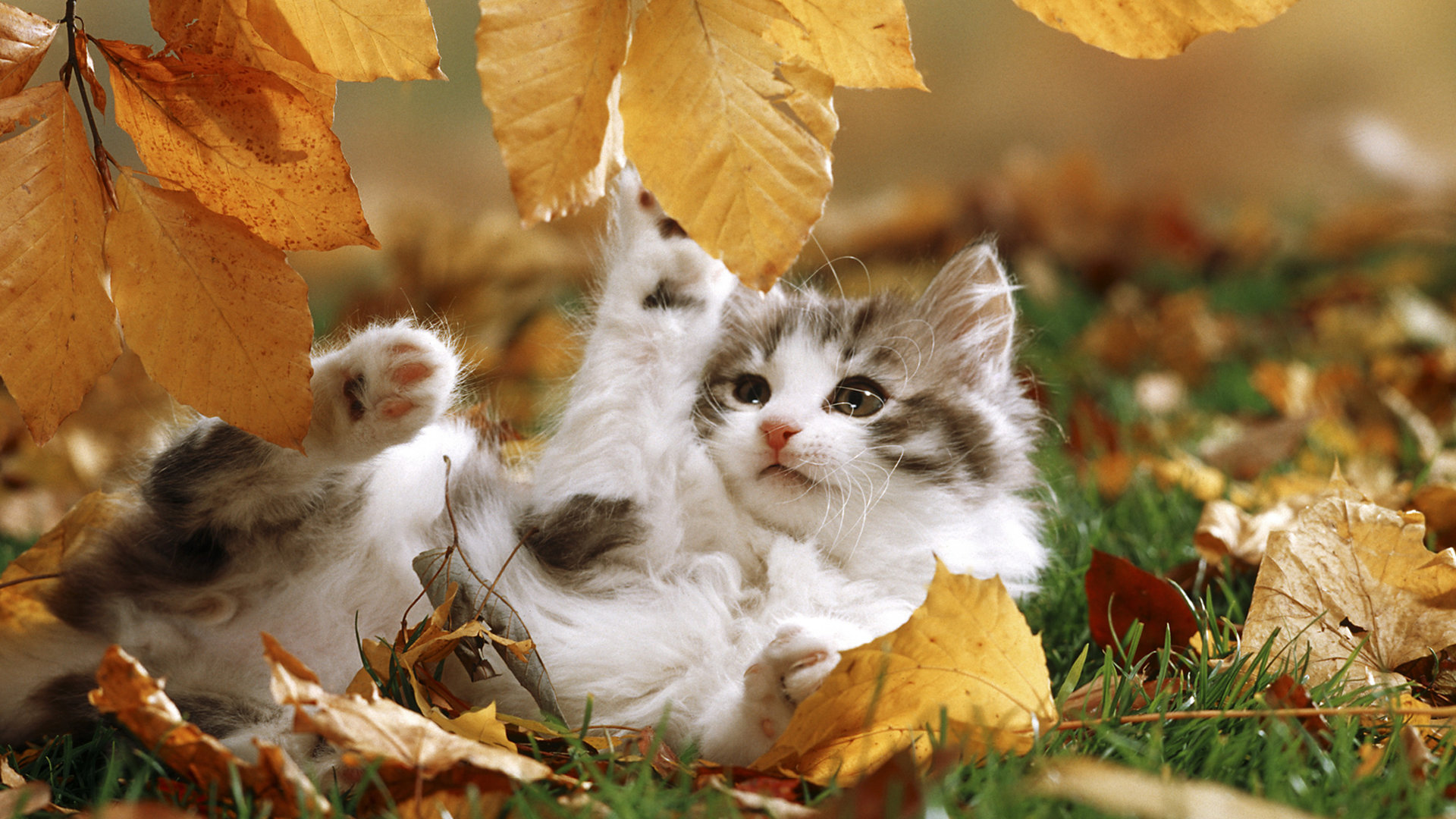 Download full hd Kitten computer background ID:427409 for free
