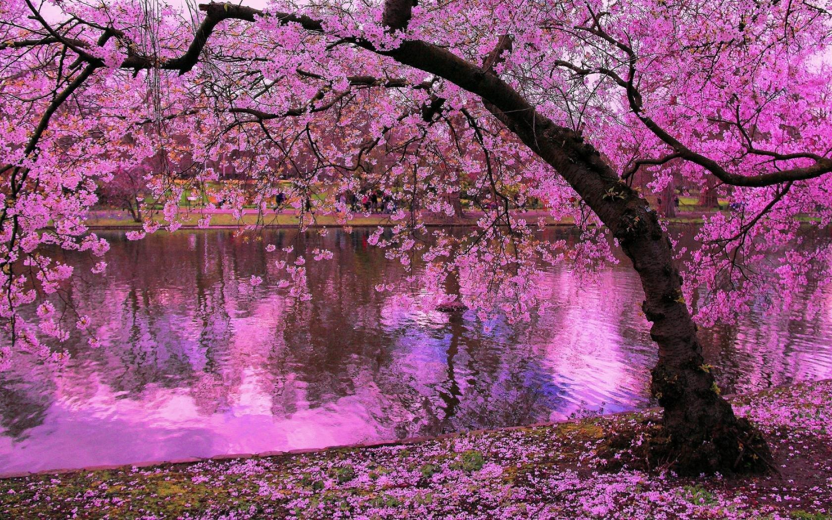 Sakura Tree Cherry Blossom Wallpapers 1680x1050 Desktop Backgrounds