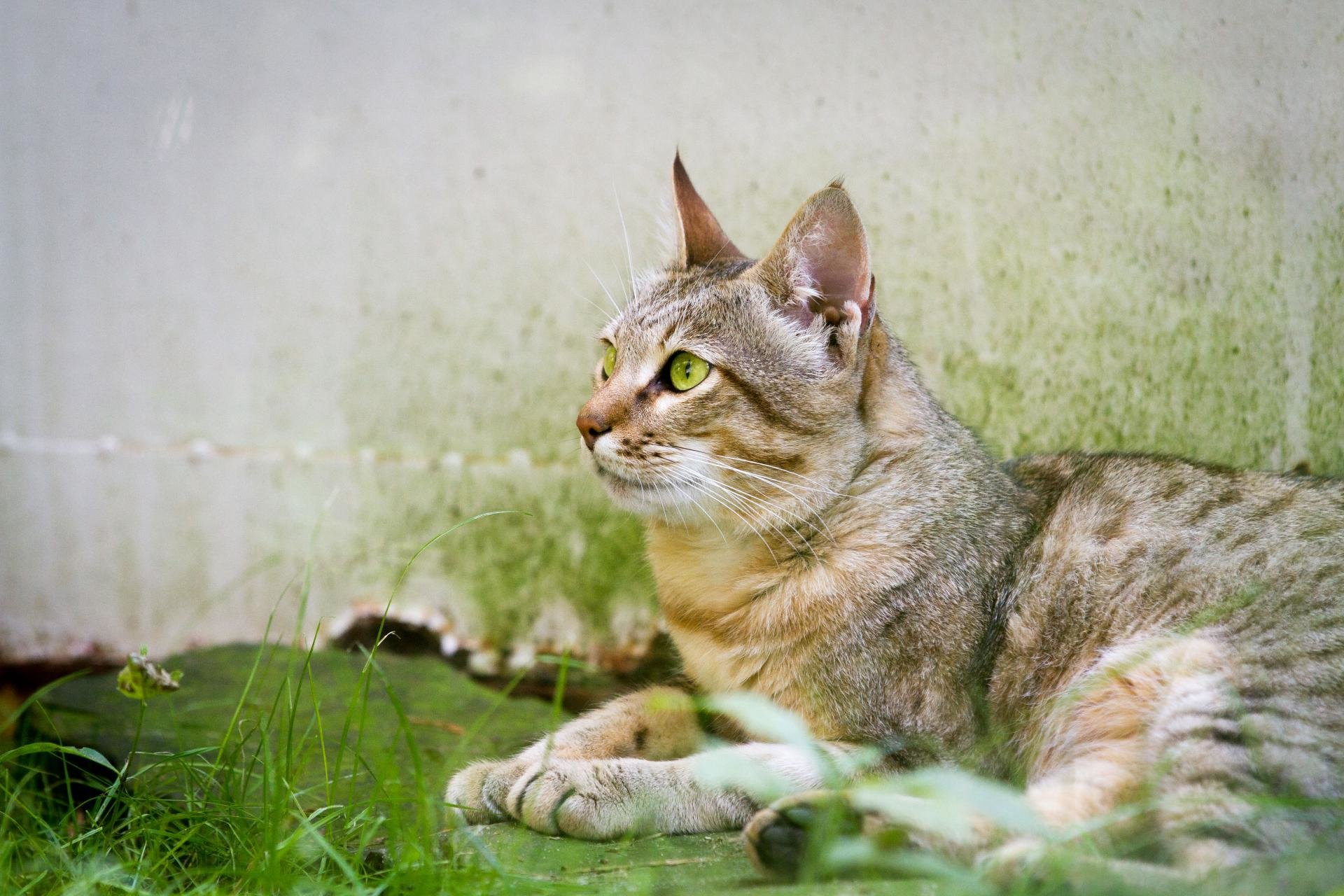 Download hd 1920x1280 Wildcat desktop wallpaper ID:467261 for free