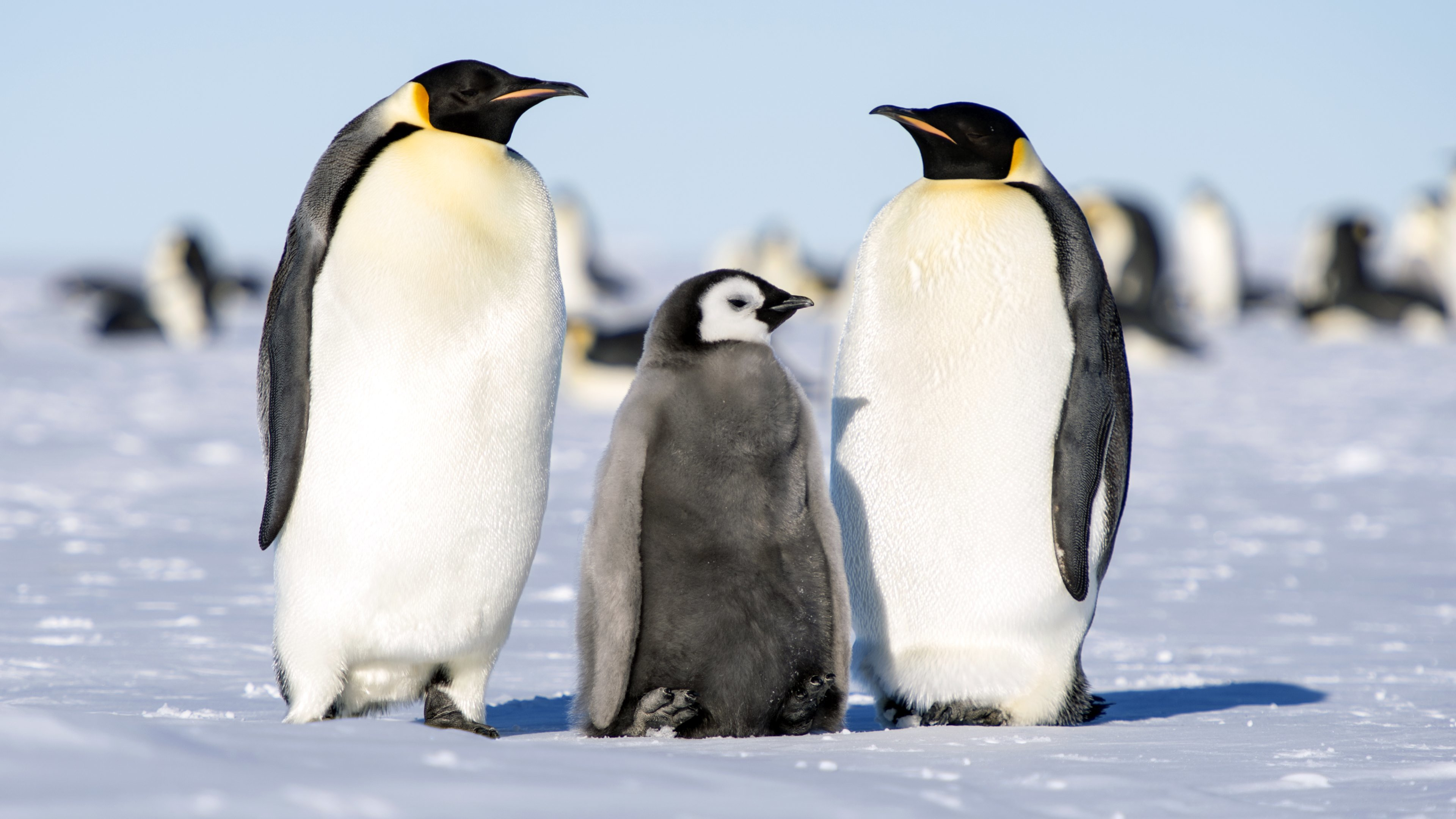 Free Emperor Penguin high quality wallpaper ID:47923 for ultra hd 4k desktop