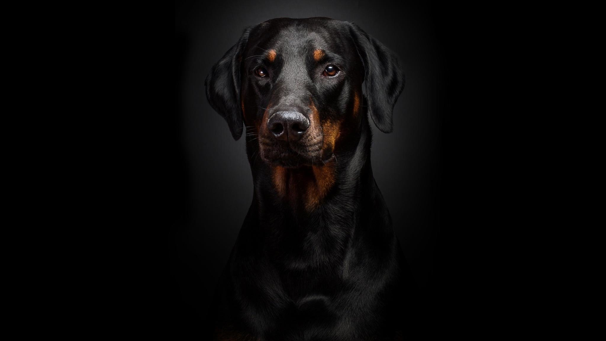 High resolution Rottweiler hd 2048x1152 wallpaper ID:68590 for PC