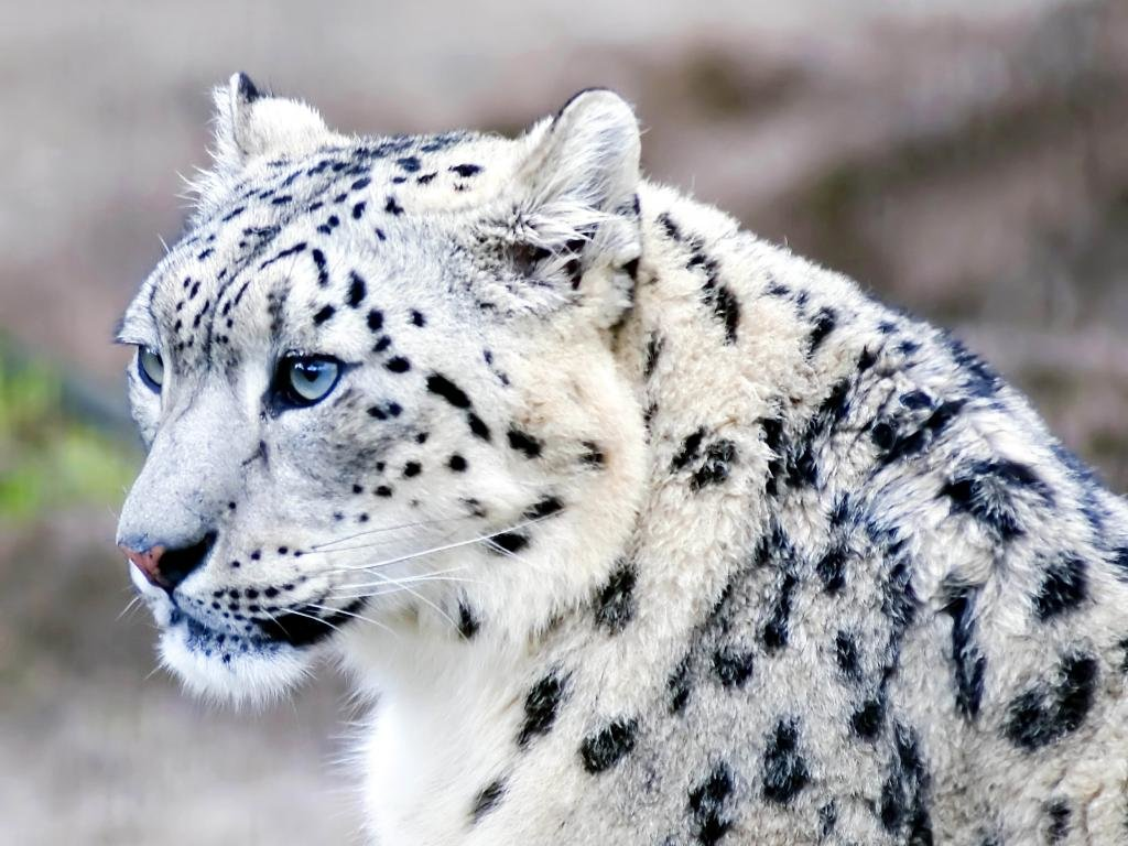 Free download Snow Leopard wallpaper ID:34548 hd 1024x768 for computer