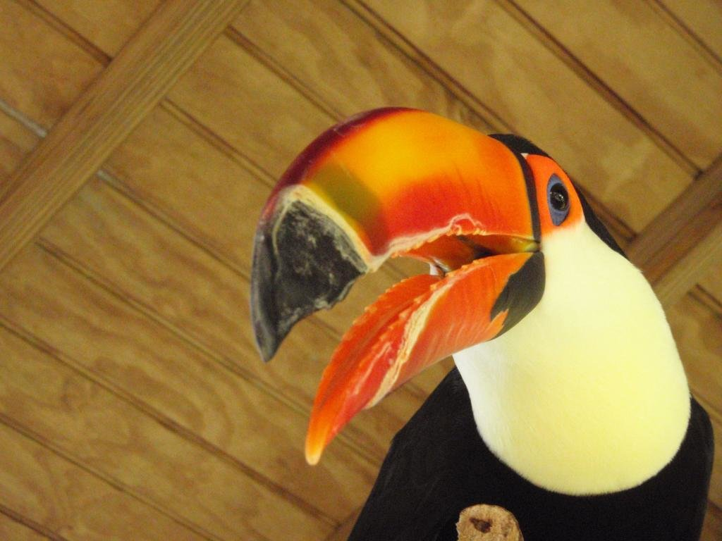 High resolution Toucan hd 1024x768 wallpaper ID:57301 for PC