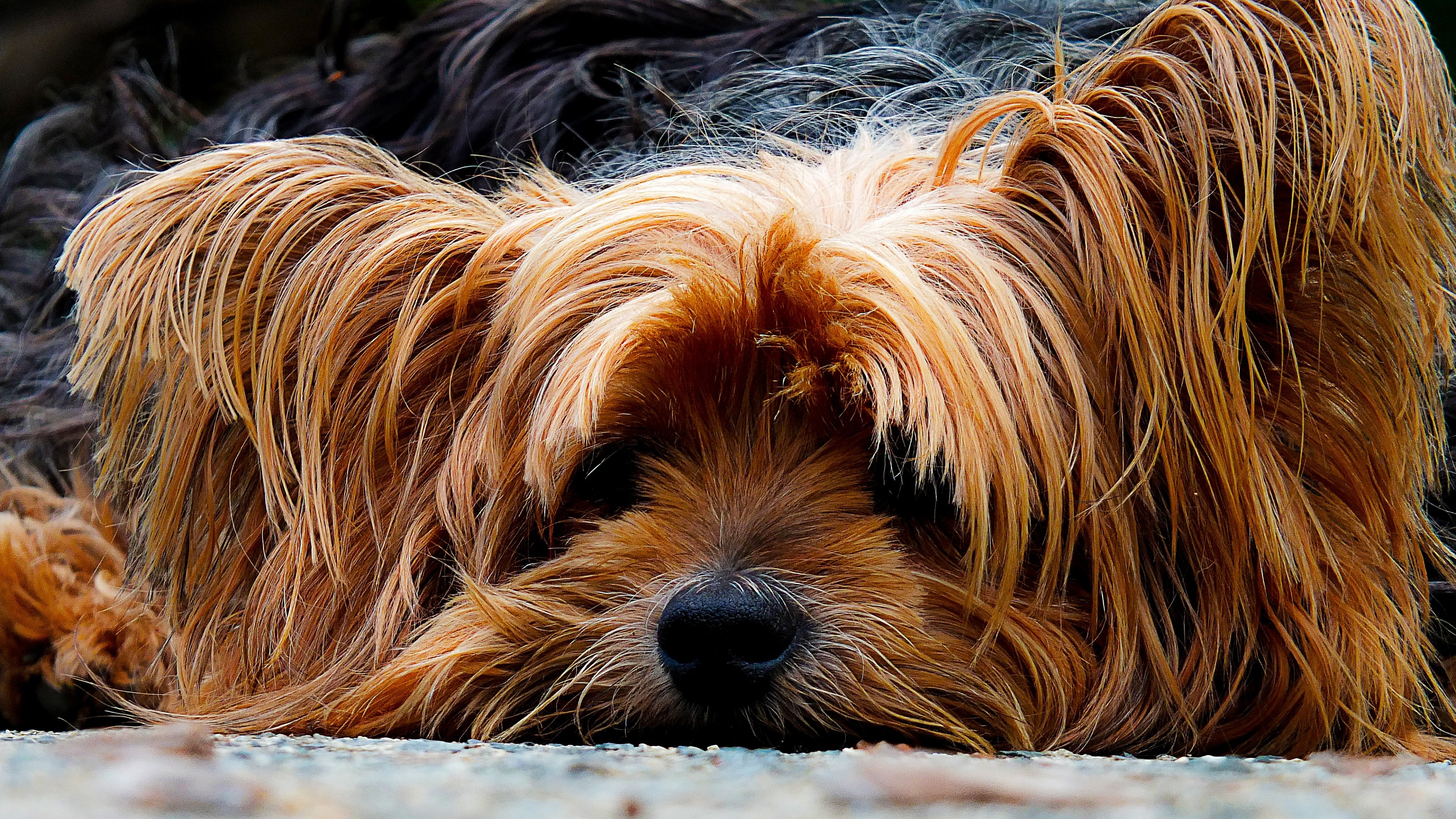Free Yorkshire Terrier high quality background ID:110964 for 4k desktop