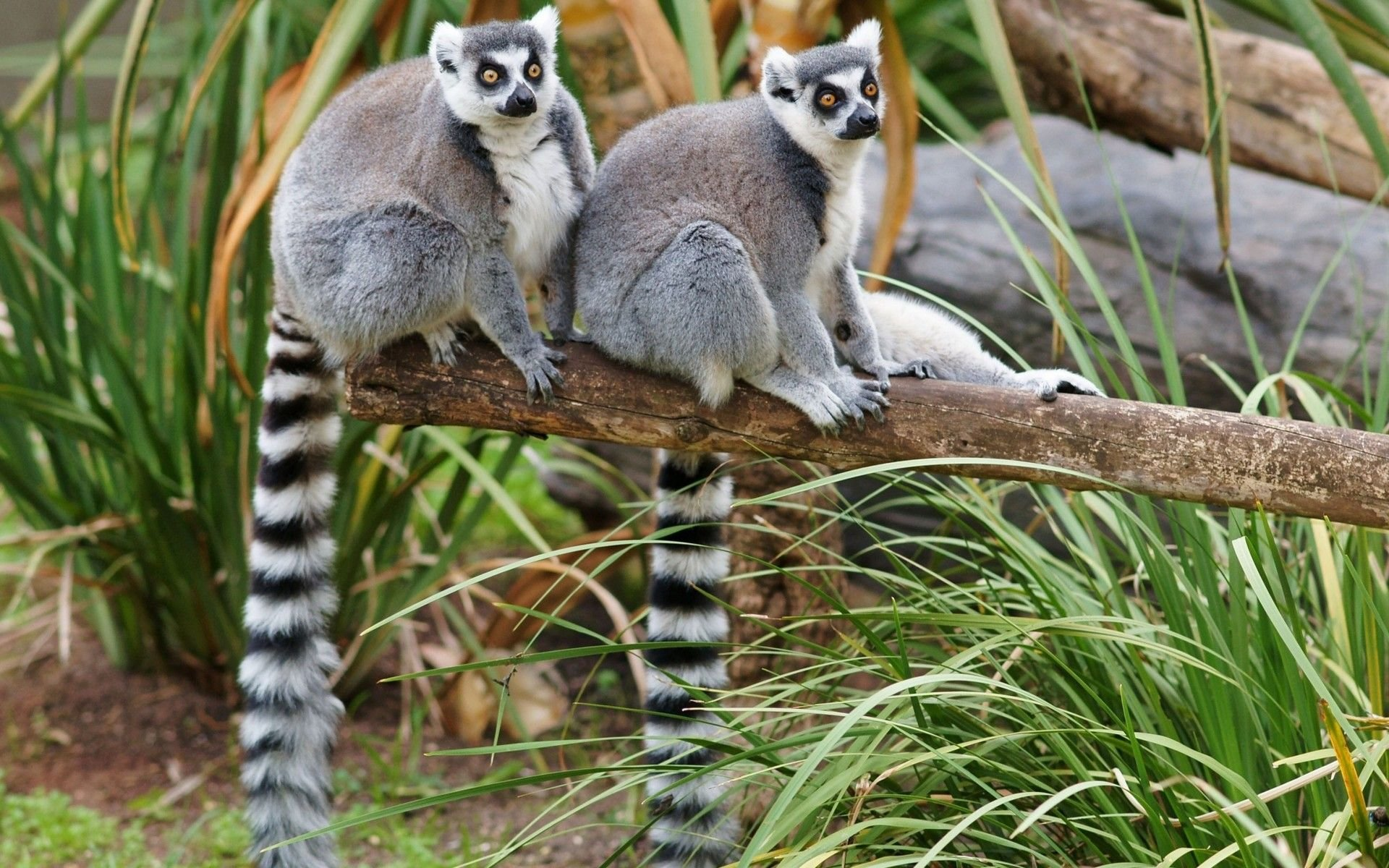 Free Lemur high quality background ID:53164 for hd 1920x1200 desktop