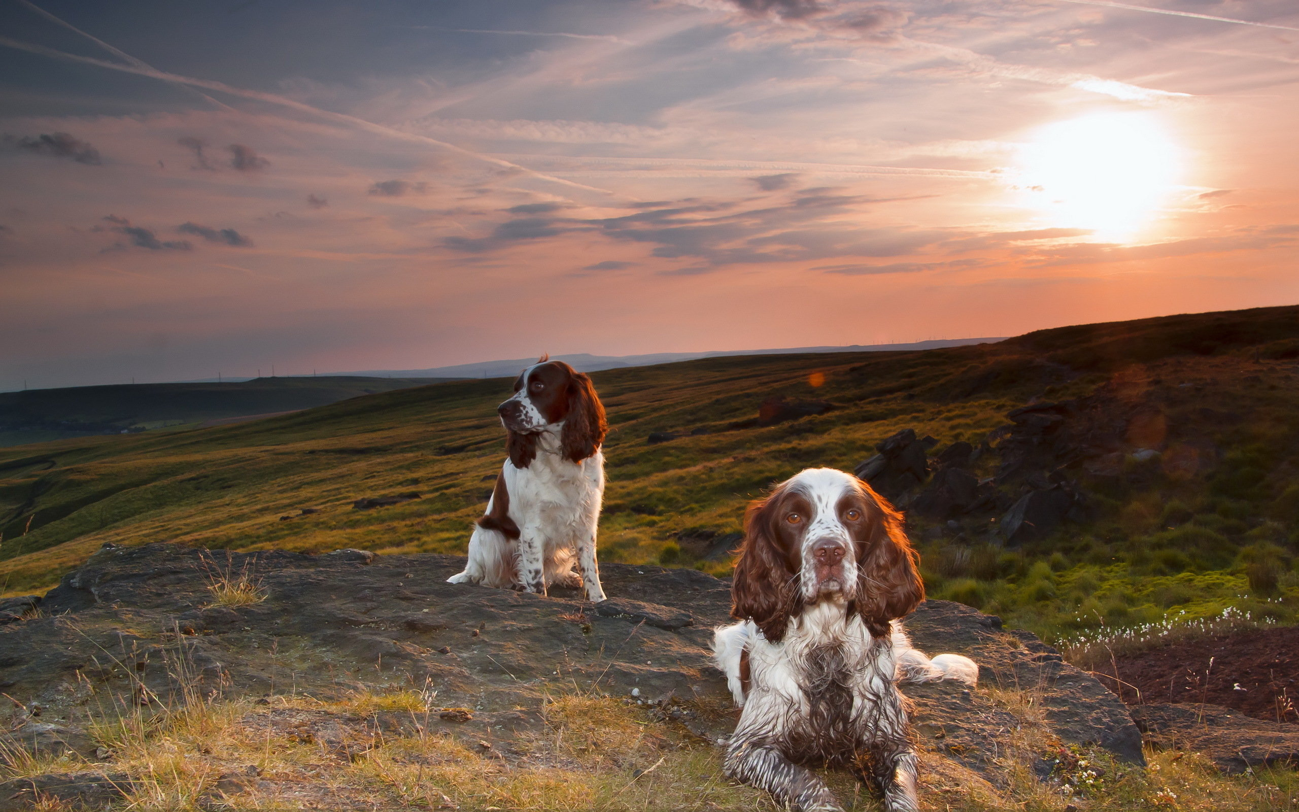 Free Spaniel high quality background ID:186012 for hd 2560x1600 desktop