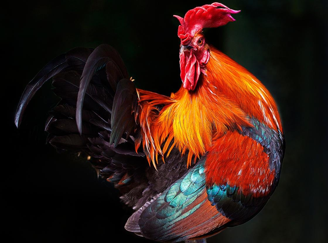Free download Rooster wallpaper ID:123591 hd 1120x832 for desktop