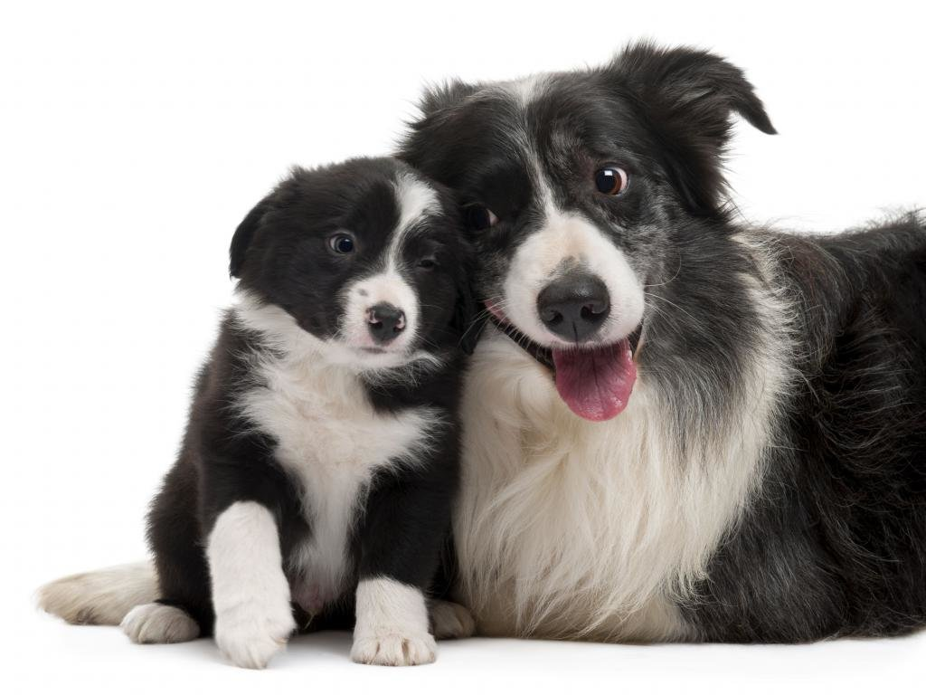 Free Border Collie high quality background ID:165866 for hd 1024x768 desktop