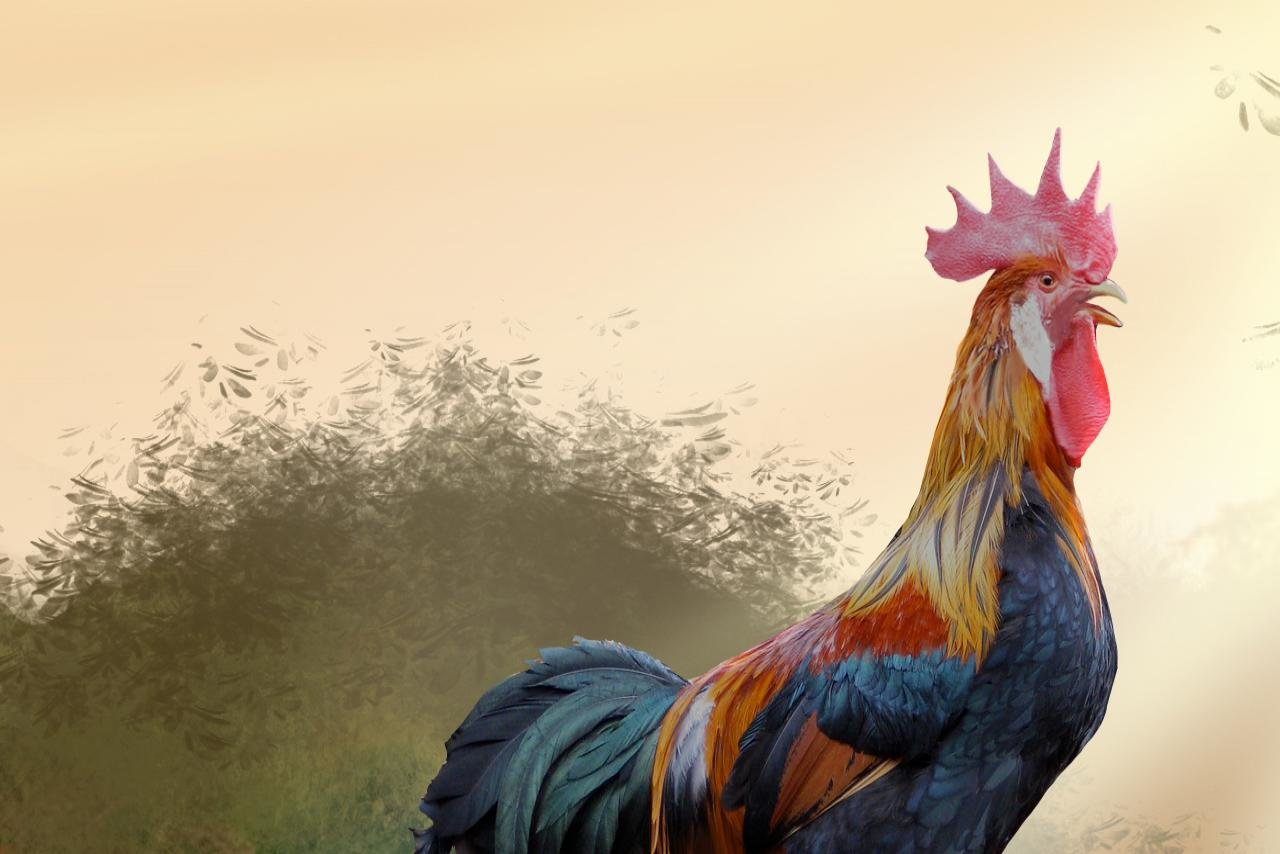 Best Rooster background ID:123586 for High Resolution hd 1280x854 desktop